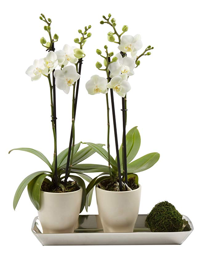 Normally $57, these #1 bestselling orchids are 47 percent off today (Photo via Amazon)