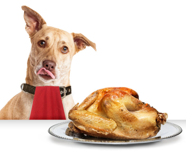 A puppy looks longingly at a Thanksgiving turkey. Shutterstock image via user Susan Schmitz