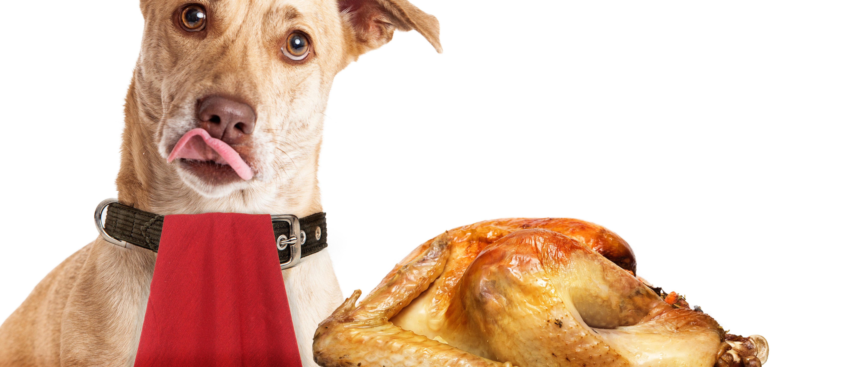 A puppy looks longingly at a Thanksgiving turkey. Shutterstock image via user Susan Schmitz