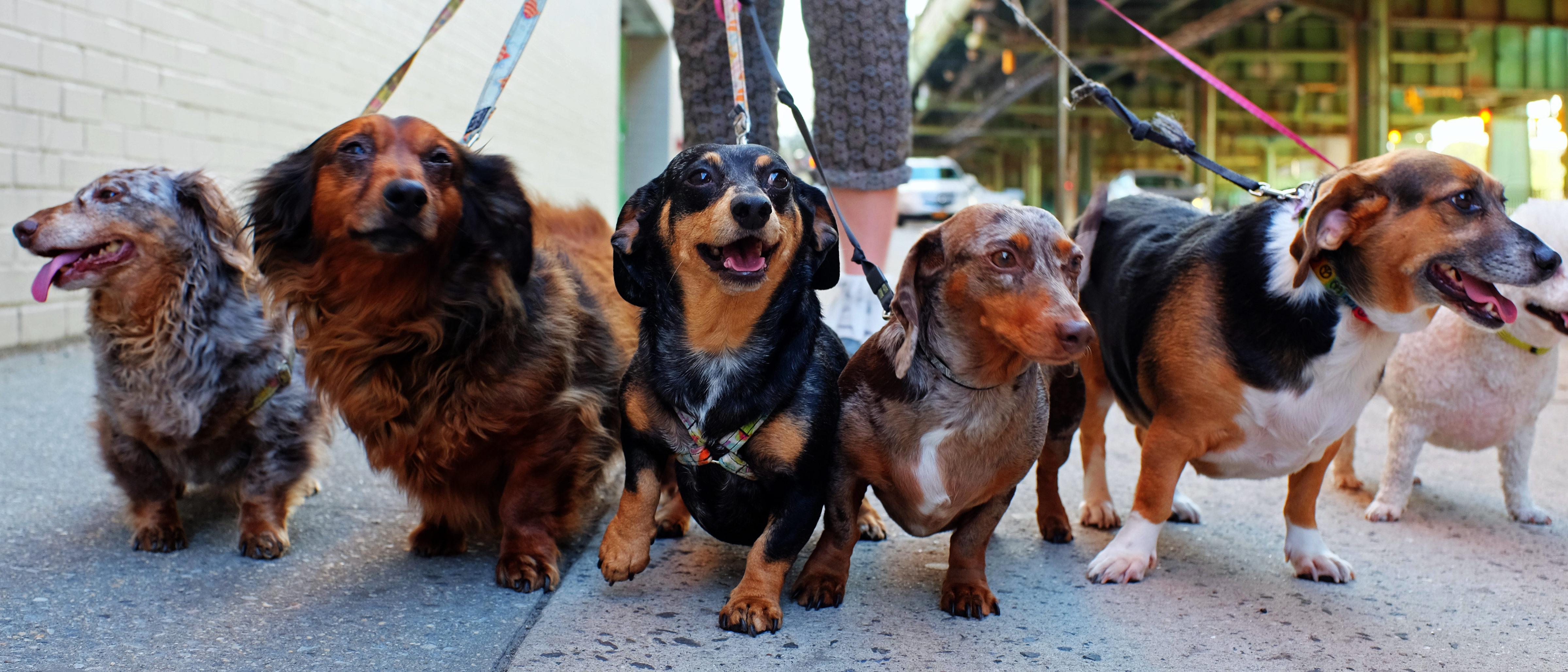 Dogs walking (Shutterstock/A Katz)