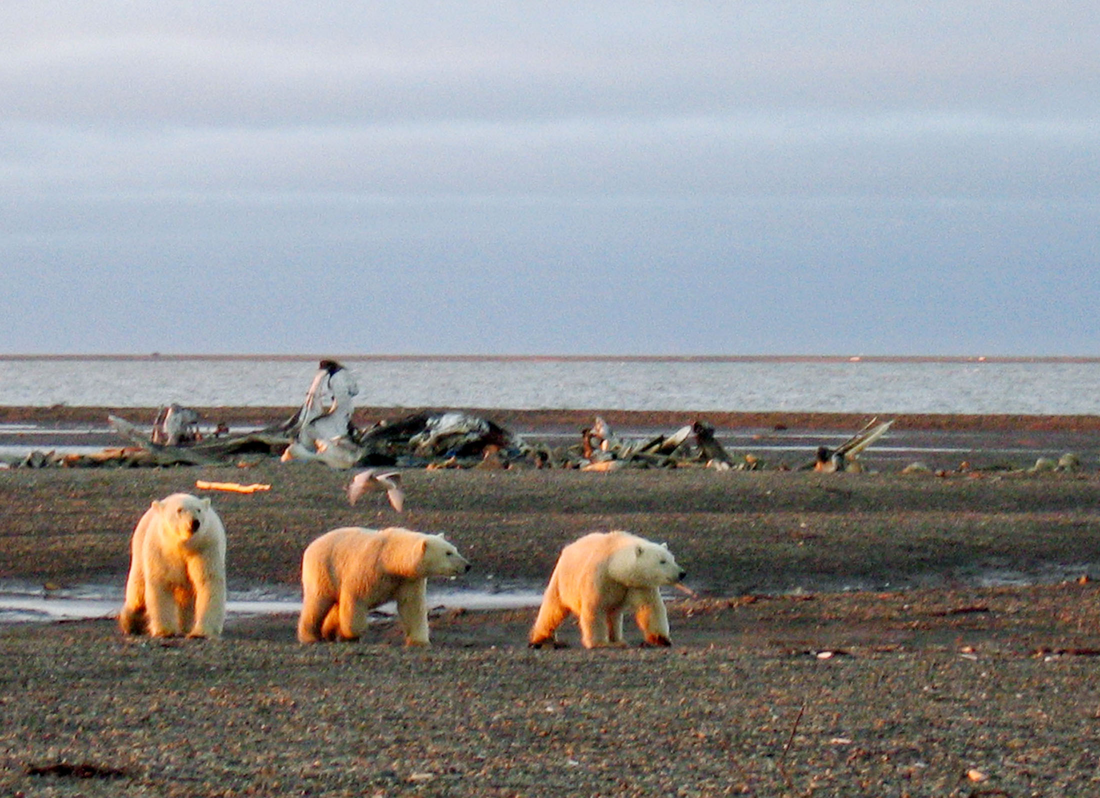 Polar bears are seen within the 1002 Area of the Arctic National Wildlife Refuge