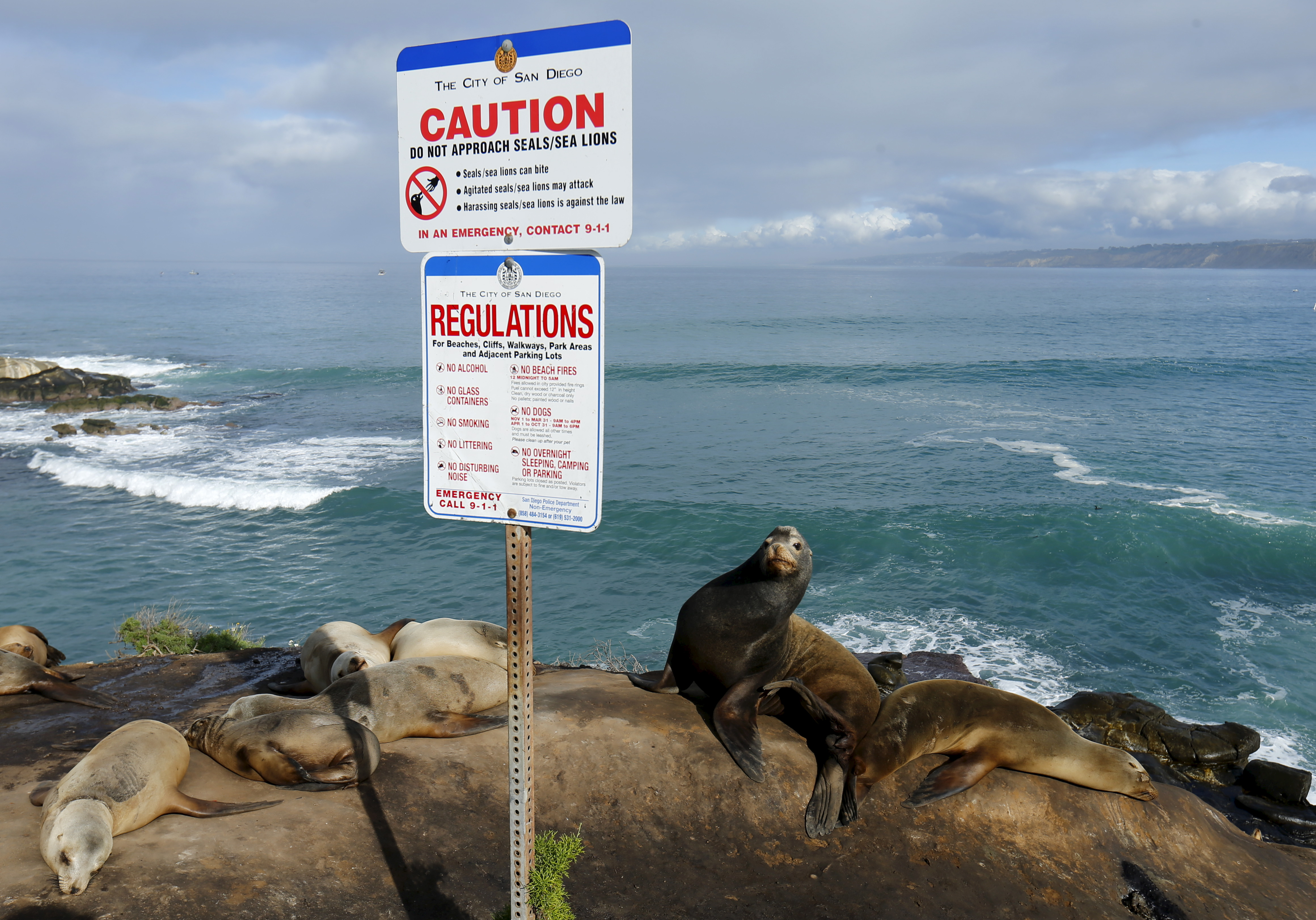 Sea lions rest in the sun as they sit on a cliffside next to a road in La Jolla, California January 20, 2016. REUTERS/Mike Blake