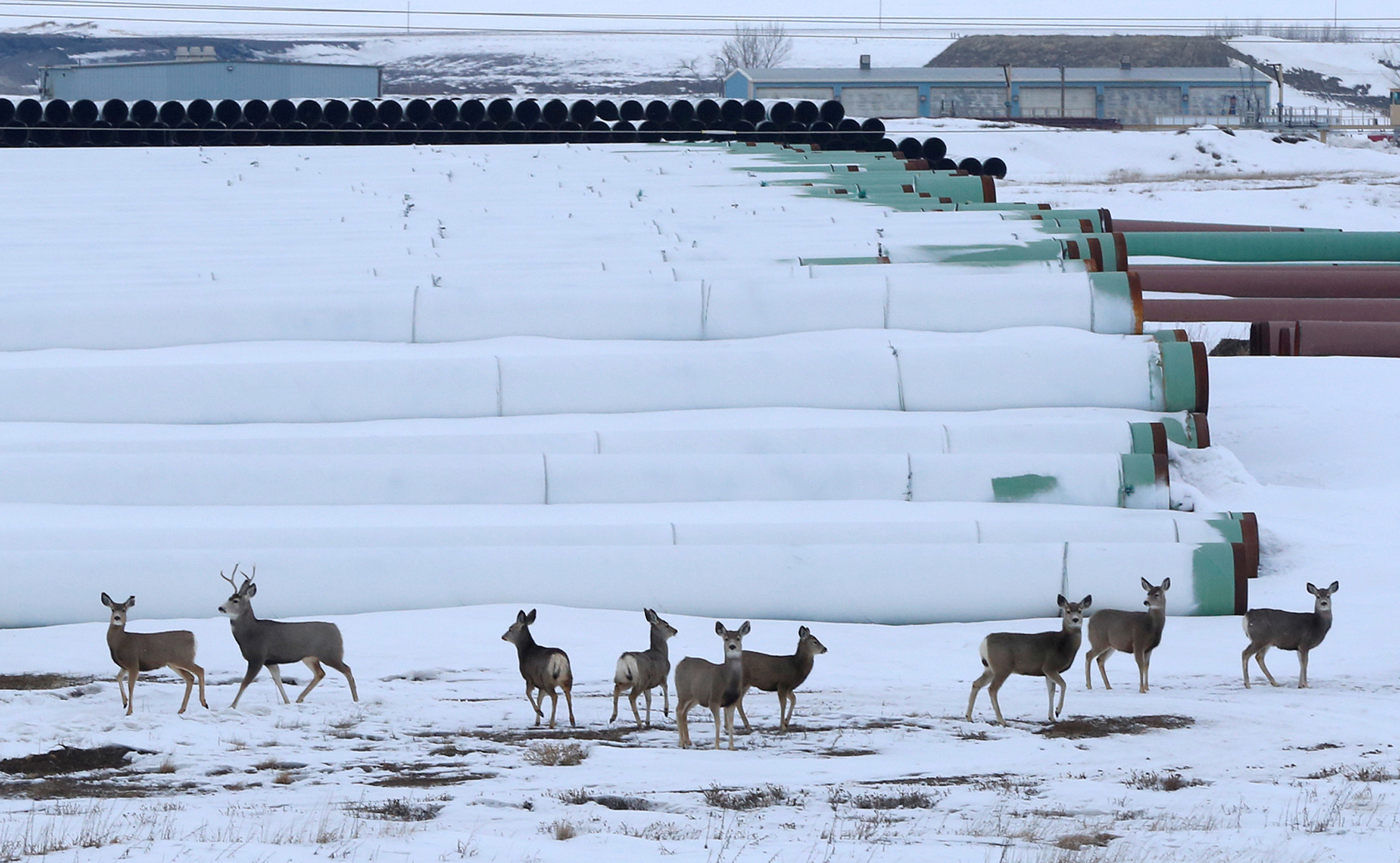 Deer gather at a depot used to store pipes for Transcanada Corp's planned Keystone XL oil pipeline in Gascoyne