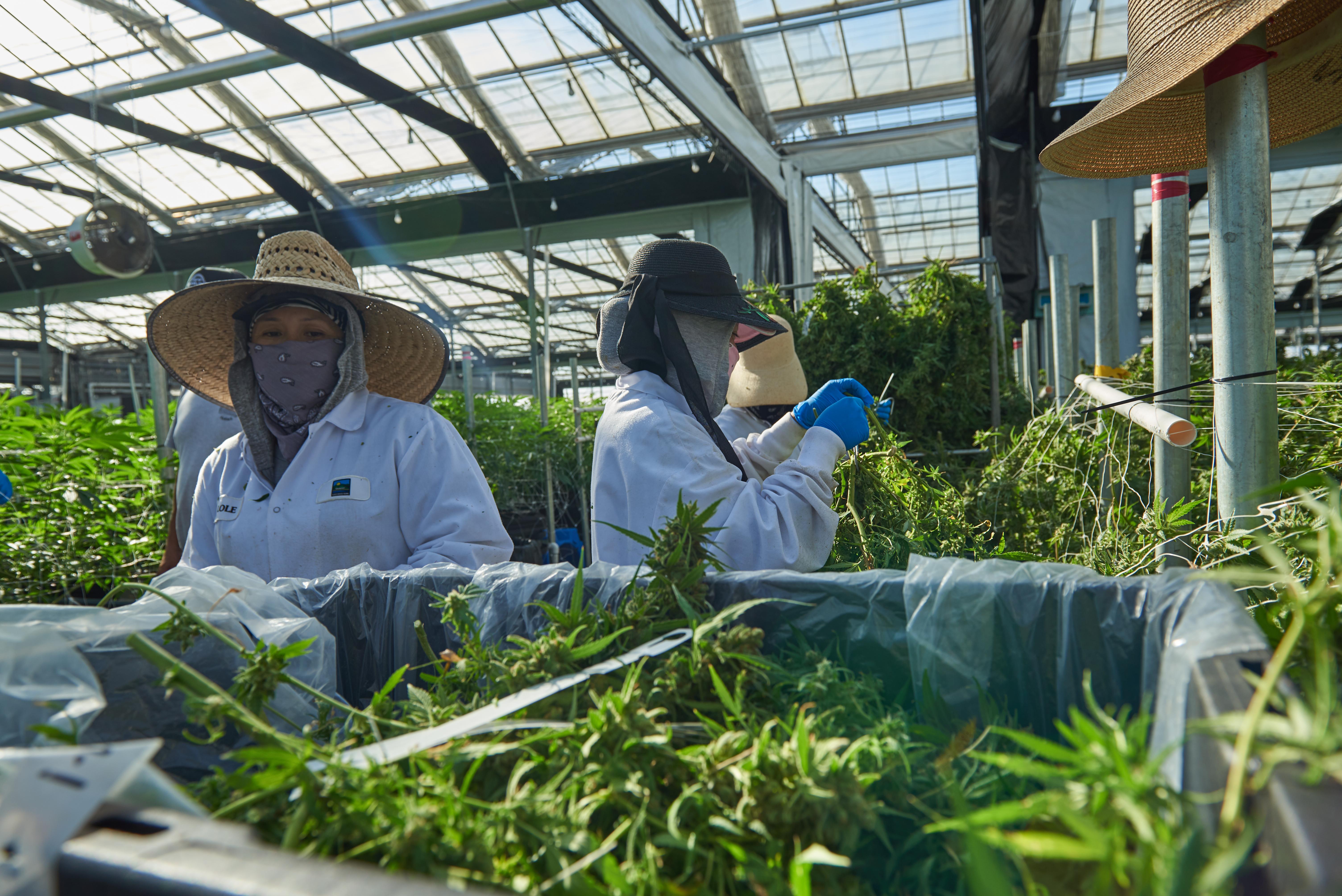 Werknemers die cannabis oogsten in Californië (Liudi Hara / Shutterstock)