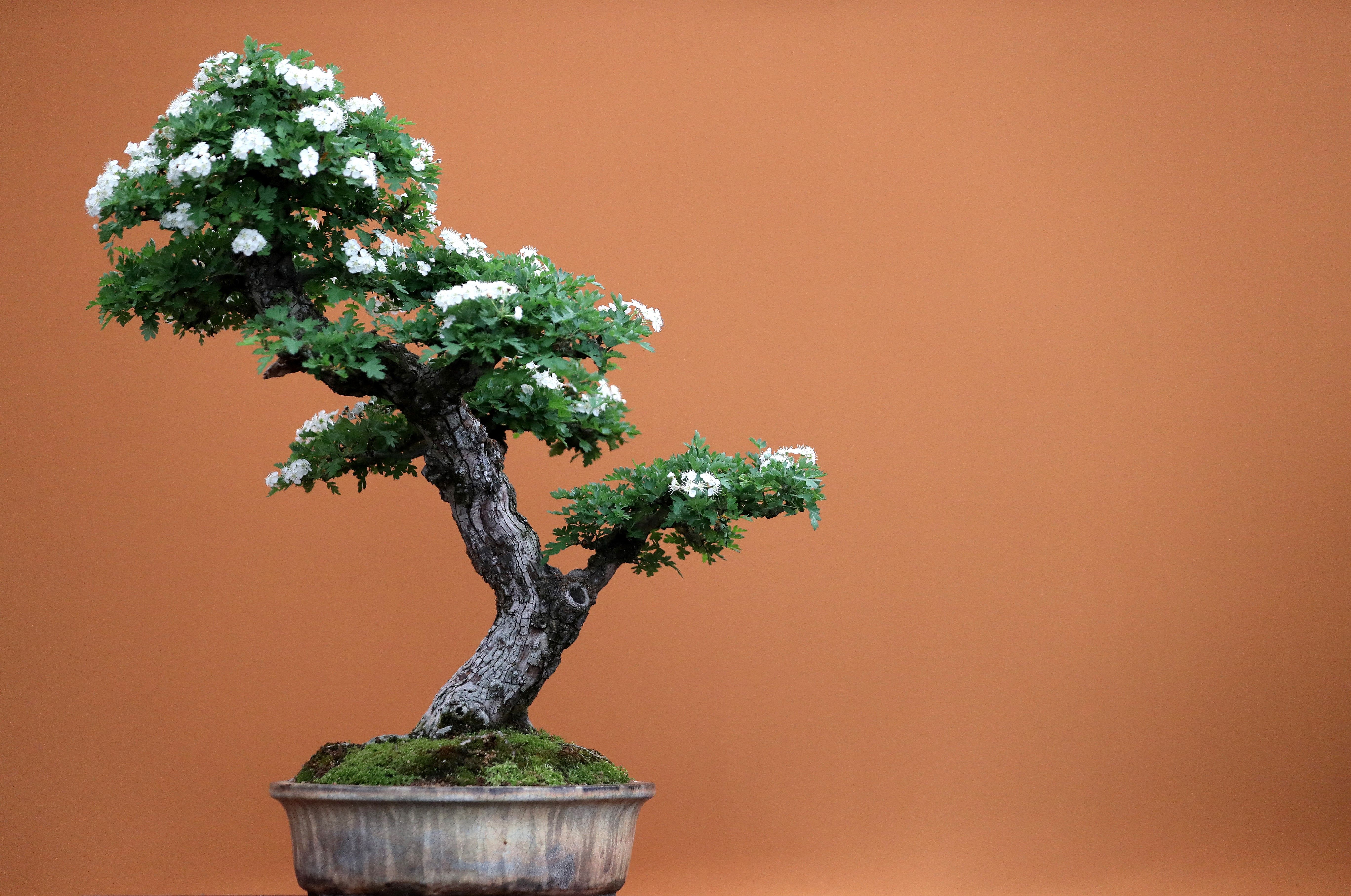 A flowering bonsai tree is pictured during a visit the 2018 Chelsea Flower Show in London on May 21, 2018. (DANIEL LEAL-OLIVAS/AFP/Getty Images)