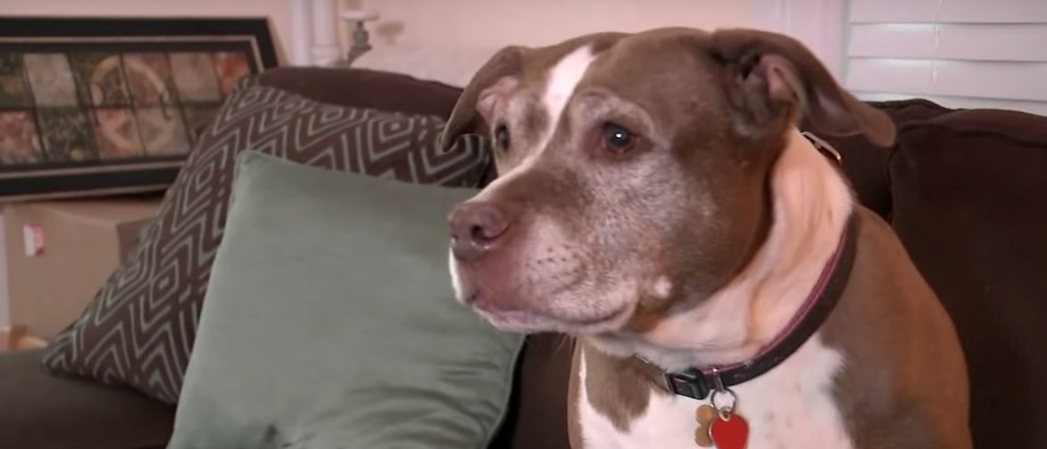 Sadie the pit bull saved her family and her hope by attracting police attention when a gas leak broke out in her house. (YouTube/Eyewitness News ABC7NY)