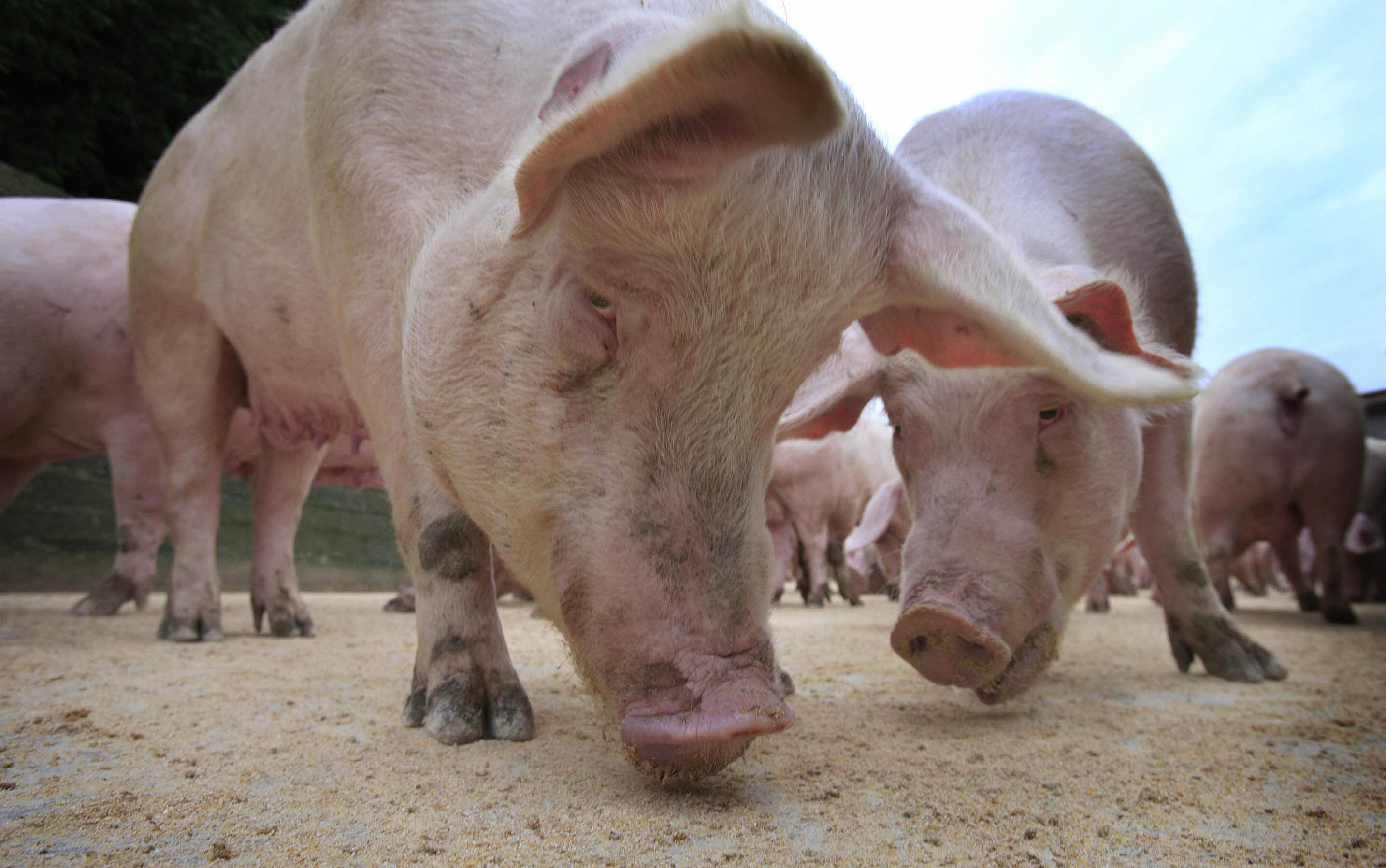 Pigs are pictured eating at a farm in Northern Ireland, on December 8, 2008. (PETER MUHLY/AFP/Getty Images)
