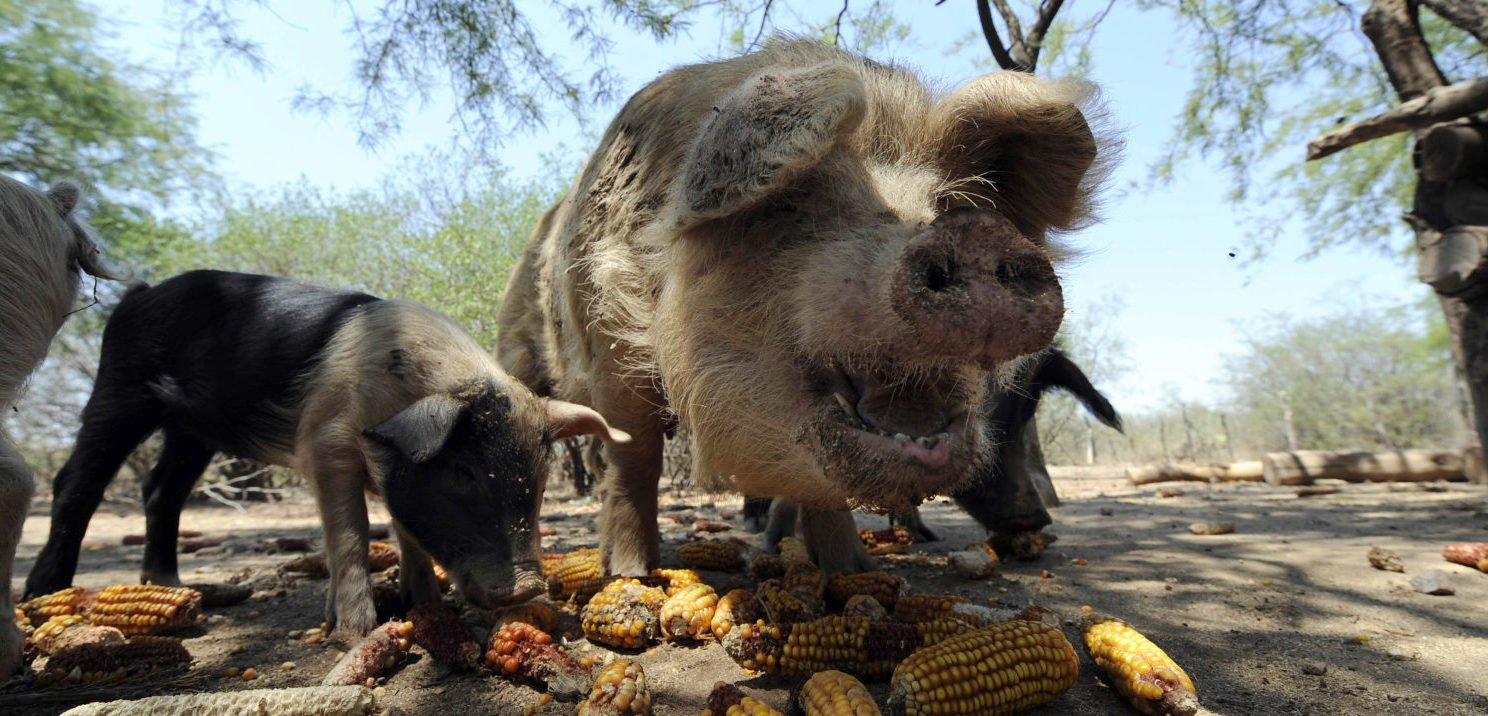 Woman Eaten Alive By Her Own Pigs
