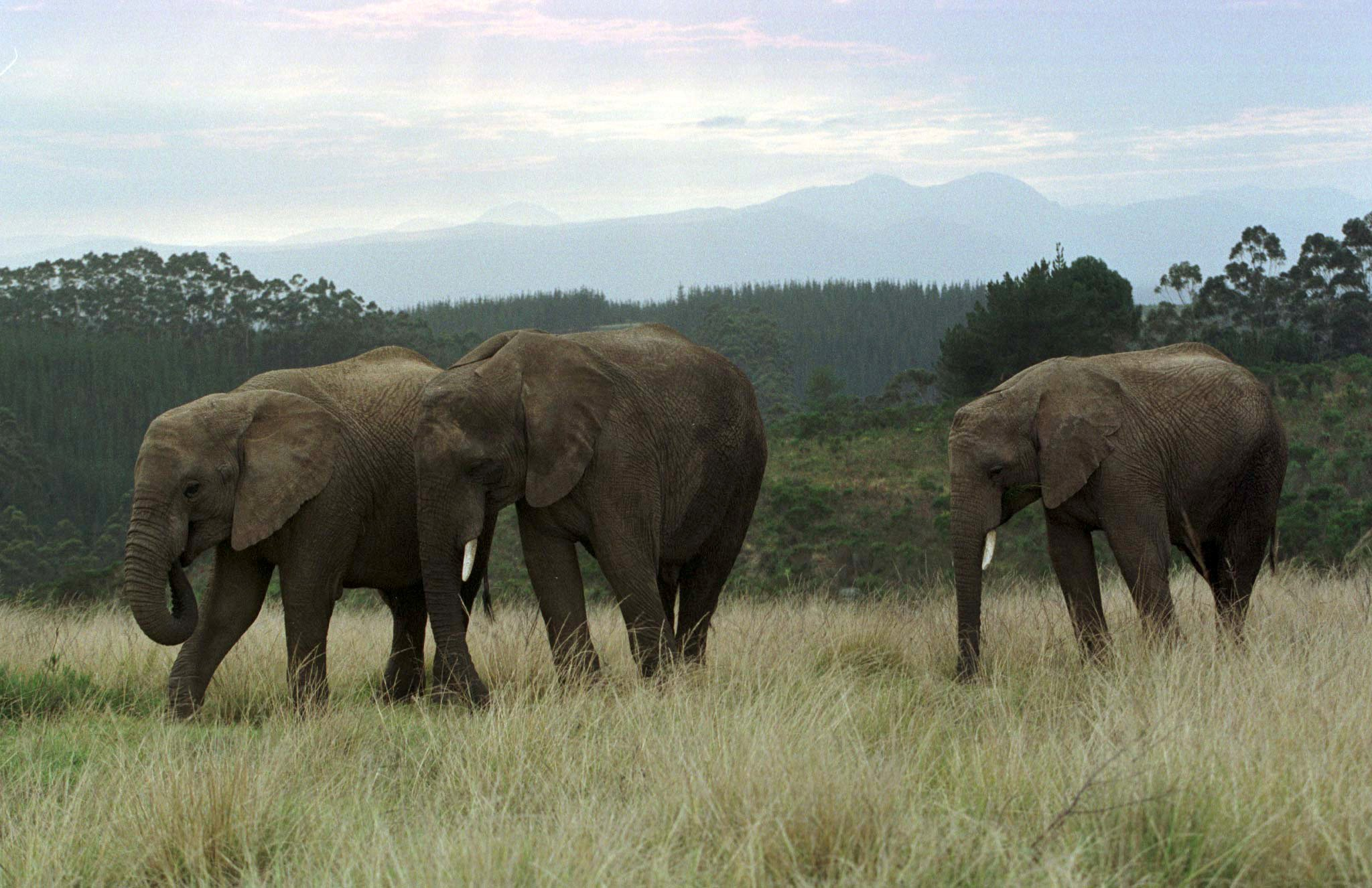 A group of elephants are seen at a park in Knysna, South Africa, July 12, 1999. REUTERS/Mike Hutchings