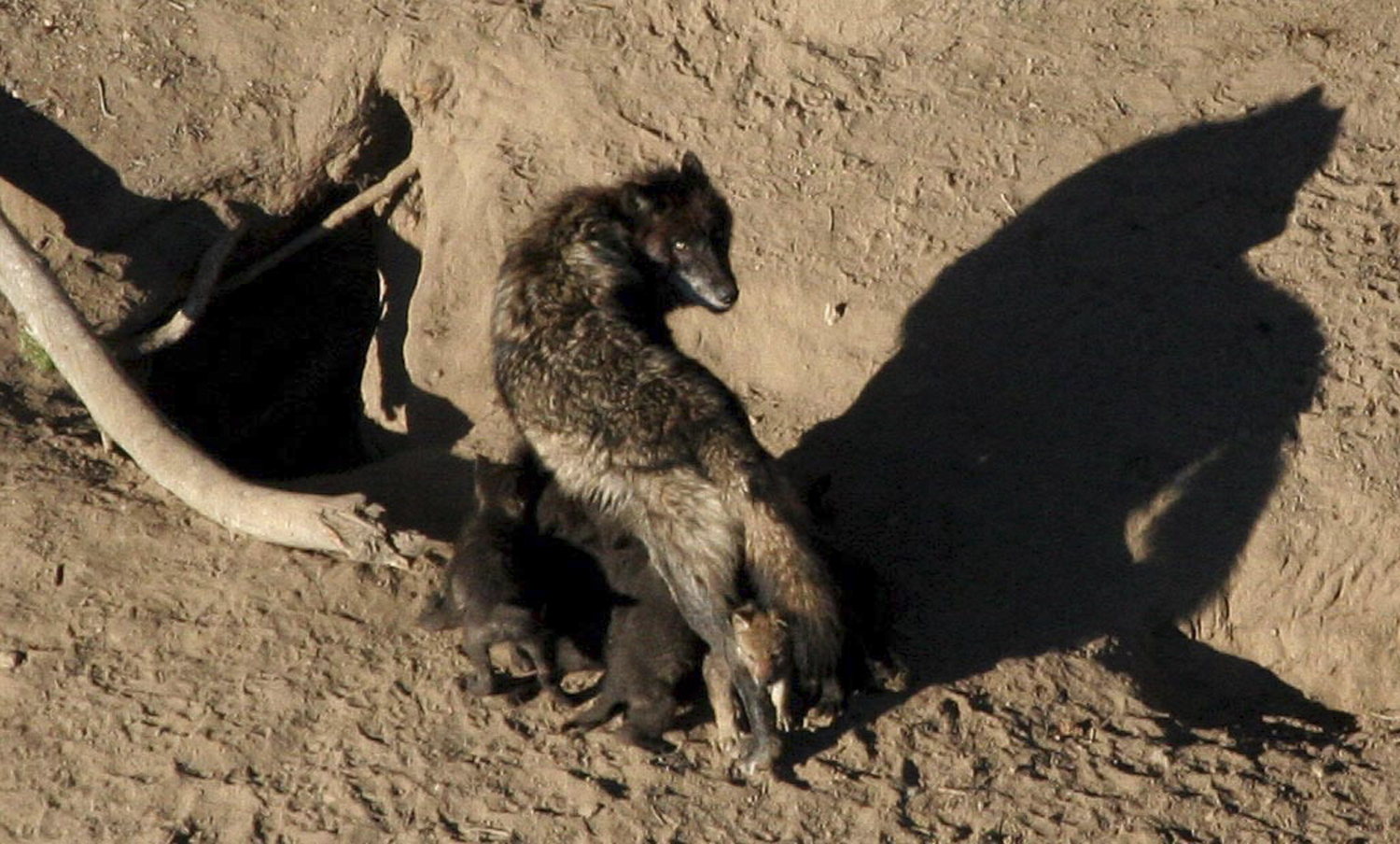U.S.  seeks to lift endangered species protection for gray wolf