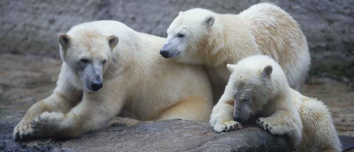 Polar Bears May Have Quadrupled In Number Despite Melting Arctic Ice, Book Says