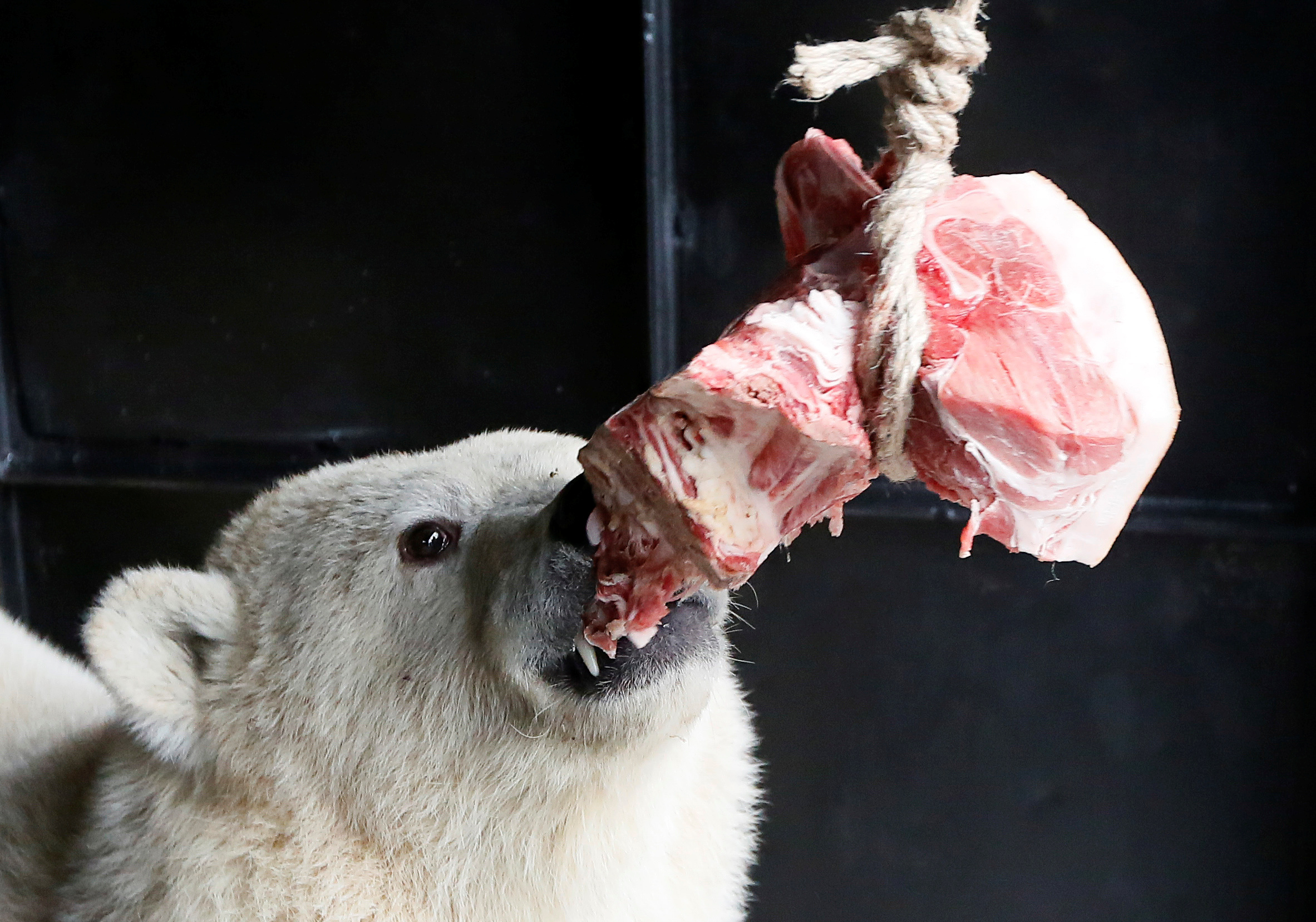 A polar bear cub eats meat at a zoo in Krasnoyarsk
