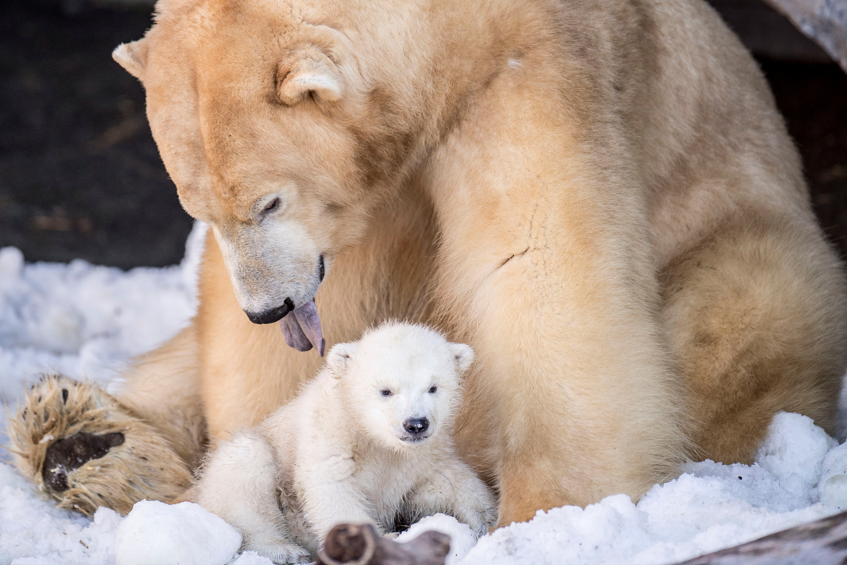 A polar bear cub comes outside for the first time at the Copenhagen Zoo