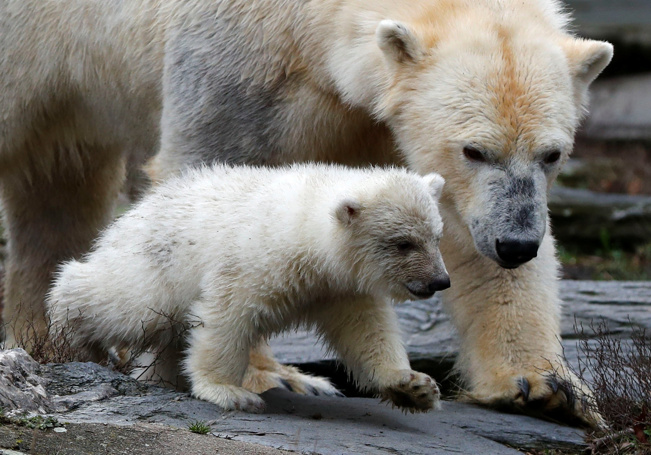 A female polar bear cub is seen together with 9 year-old mother Tonja during her first official presentation for the media at Tierpark Berlin zoo in Berlin