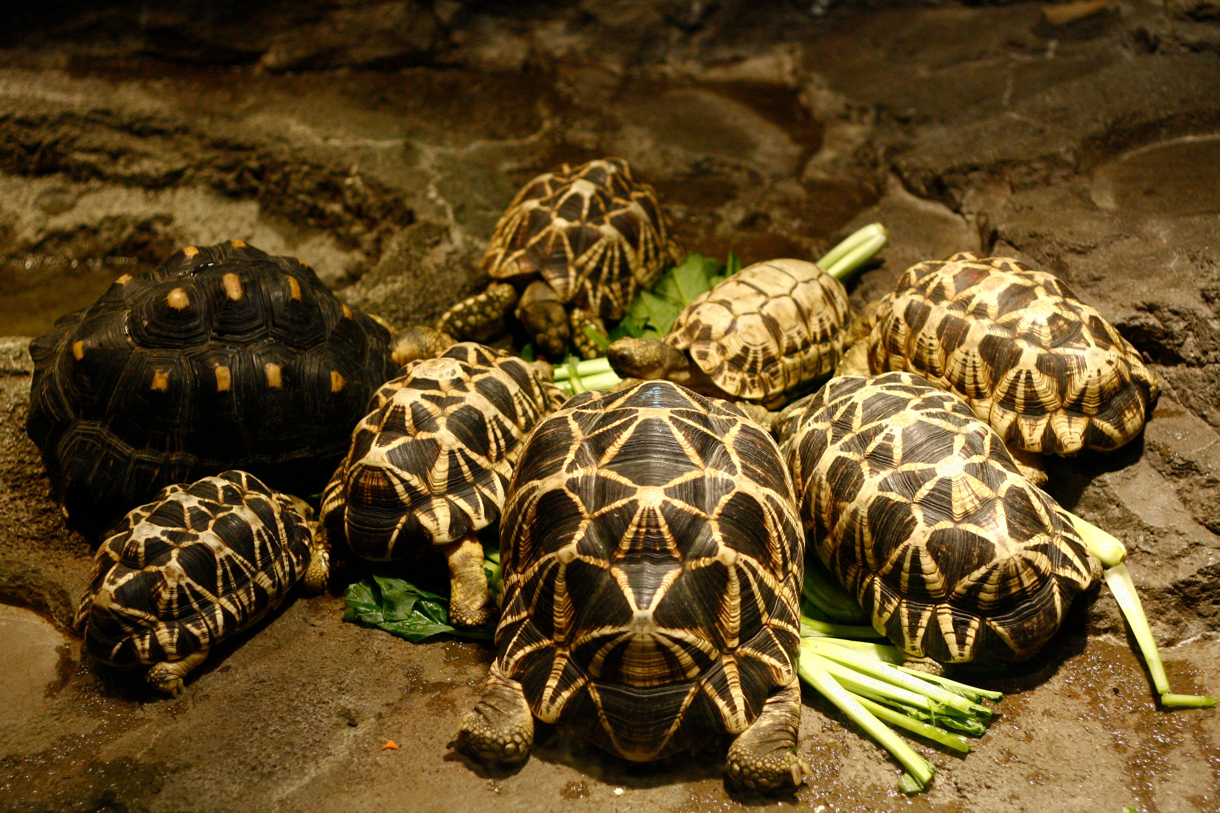 Group of Indian star tortoise (Geochelone elegans) feeding with other tortoise. (Pavaphon Supanantananont/Shutterstock)