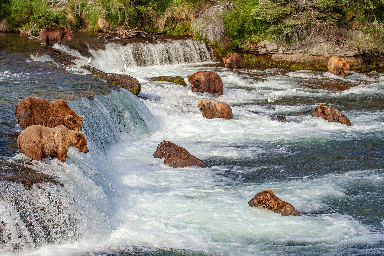 Grizzly bears fishing for salmon at Brooks Falls in Alaska. Shutterstock image via user oksana.perkins