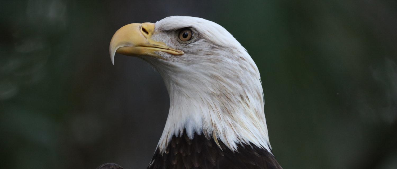 American bald eagle (Photo by Mel Kowasic)