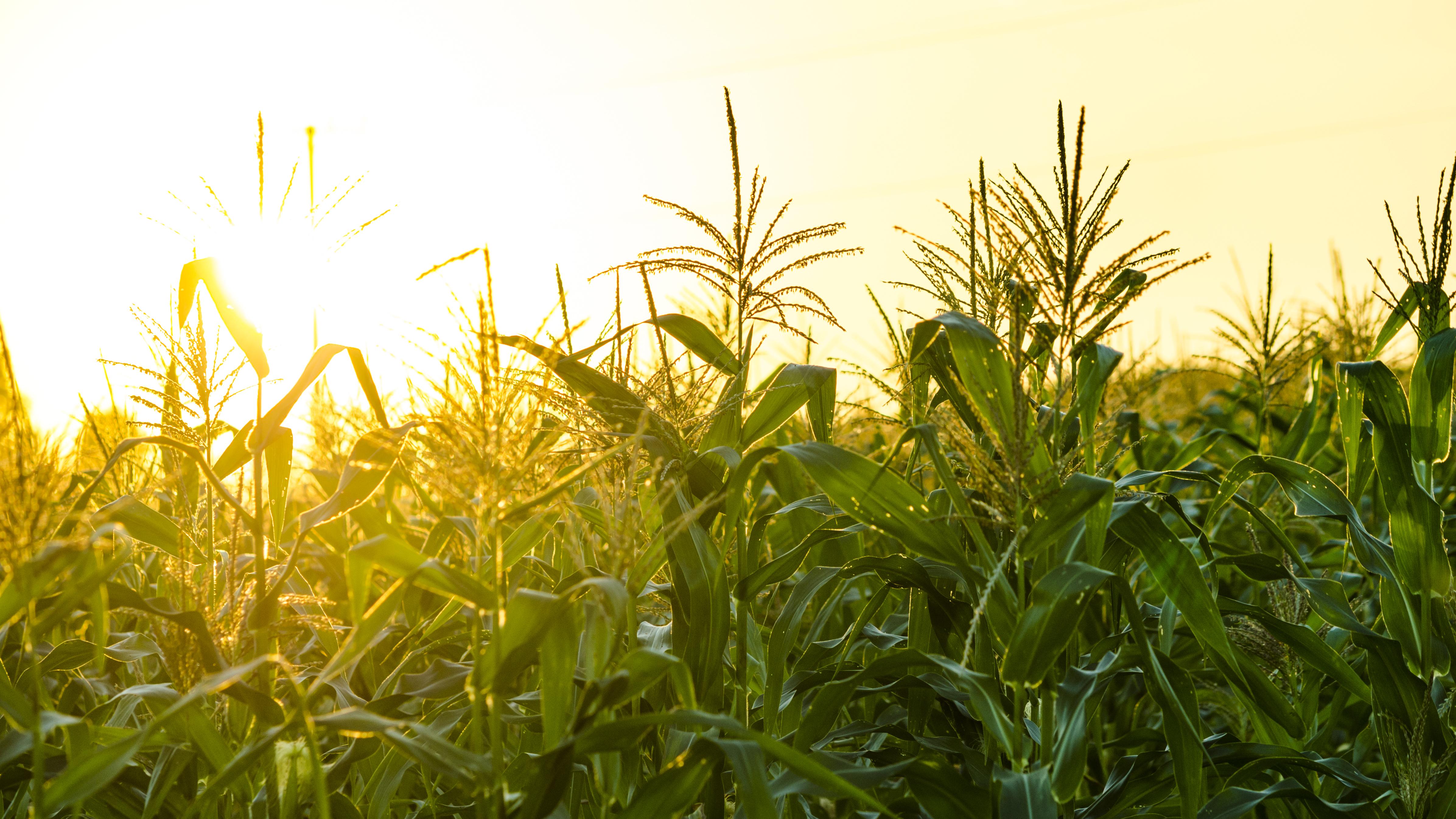 Pictured is a cornfield. SHUTTERSTOCK/ TB studio