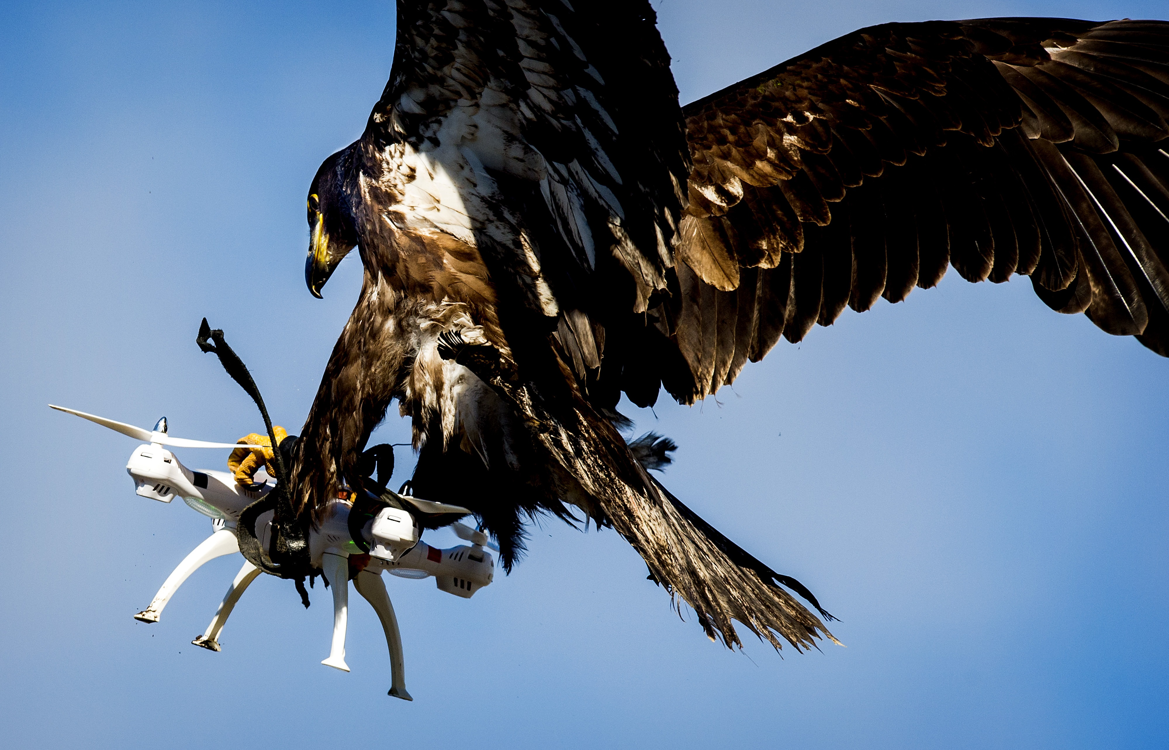 An eagle of the Guard from Above company, grasps a drone during a police exercise in Katwijk, on March 7, 2016. The bird of prey can get drones from the air by catching them with his legs. / AFP / ANP / Koen van Weel / Netherlands OUT (Photo credit should read KOEN VAN WEEL/AFP/Getty Images)