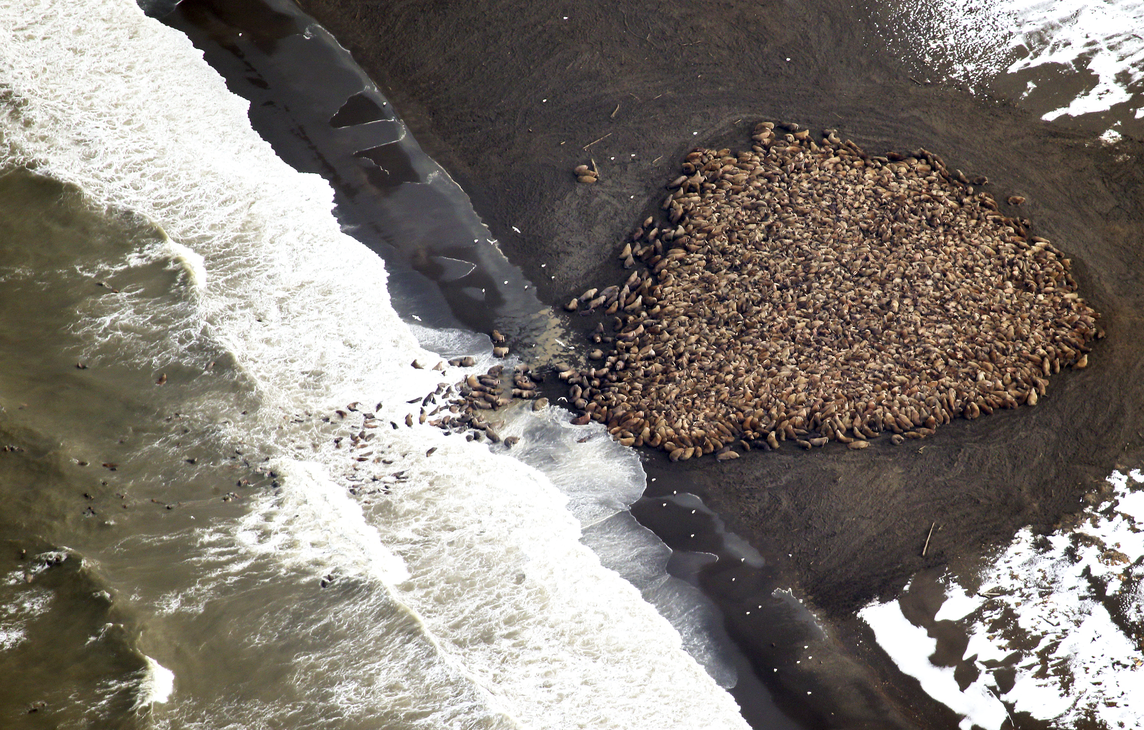 An estimated 35,000 walruses are pictured are pictured hauled out on a beach near the village of Point Lay, Alaska in this handout photo