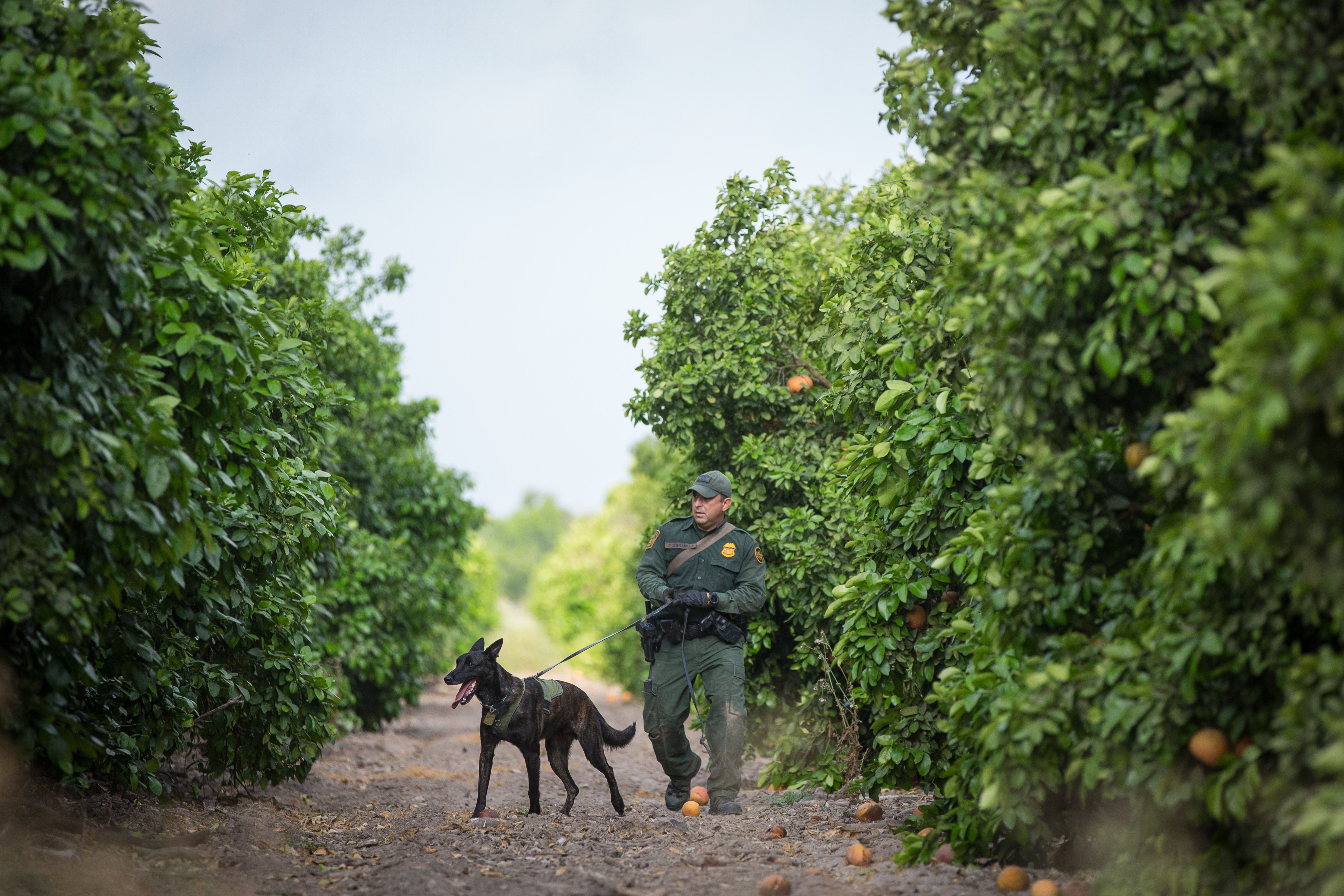 A Border Patrol agent and accompanying canine track signs of illegal immigrants through a grapefruit orchard near the Mexican border in the Rio Grande Valley Sector. (Loren Elliott/AFP/Getty Images)