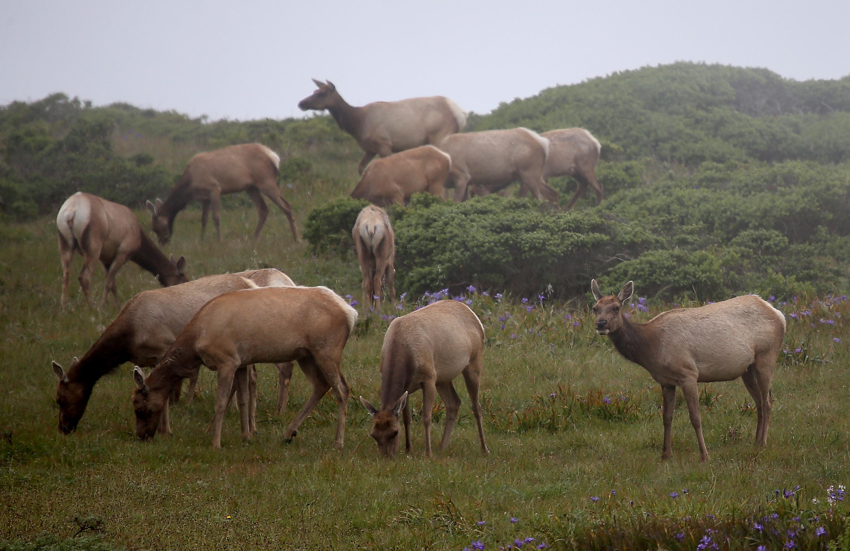 Tule Elk graze at Point Reyes National Seashore Elk Preserve on April 19, 2015. (Justin Sullivan/Getty Images)