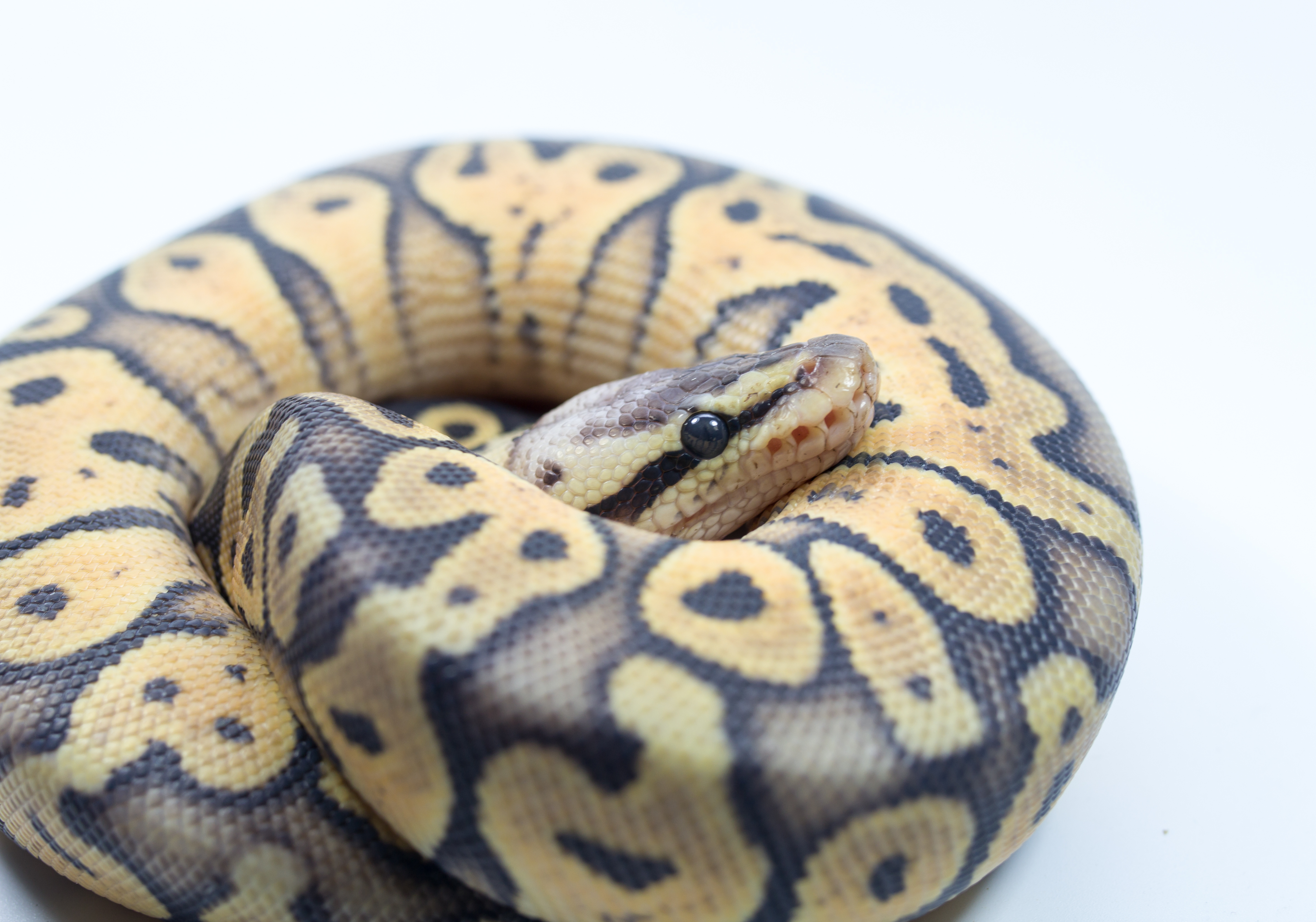Pictured is a snake. SHUTTERSTOCK/viper345