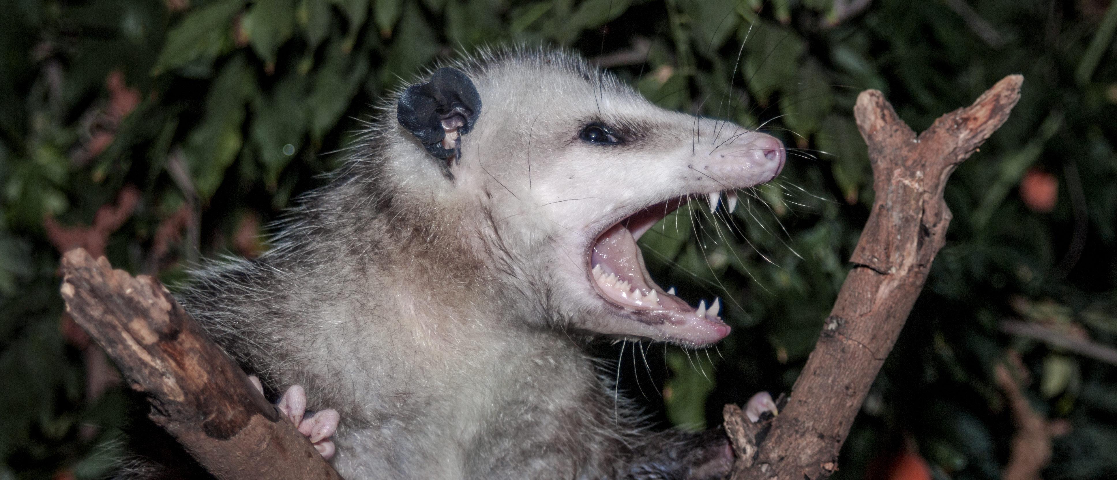 Massive Spider Eats Possum In Australia