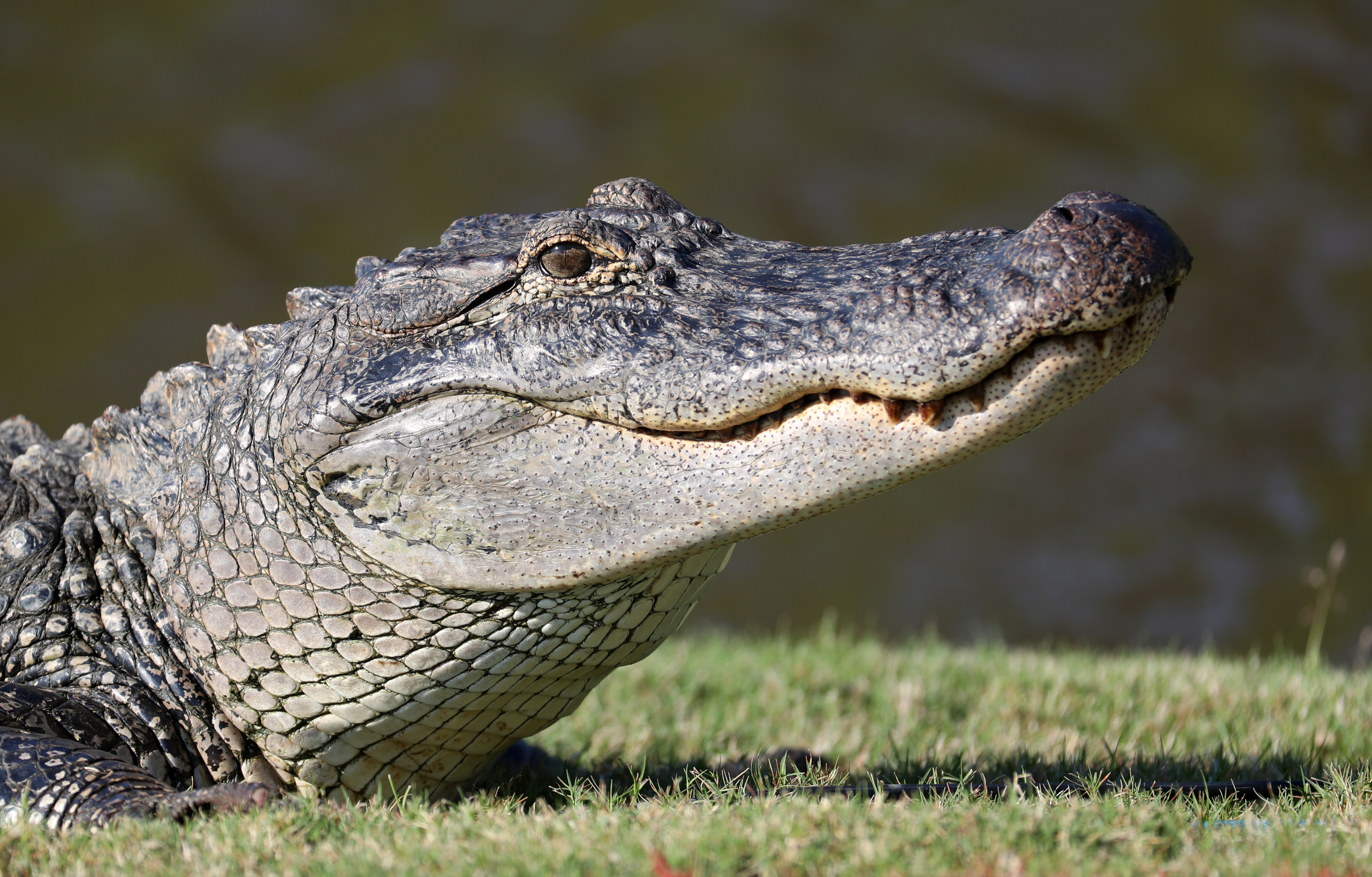 An alligator is seen near the seventh green during the first round of the Zurich Classic at TPC Louisiana on April 25, 2019 in Avondale, Louisiana. (Photo by Chris Graythen/Getty Images)
