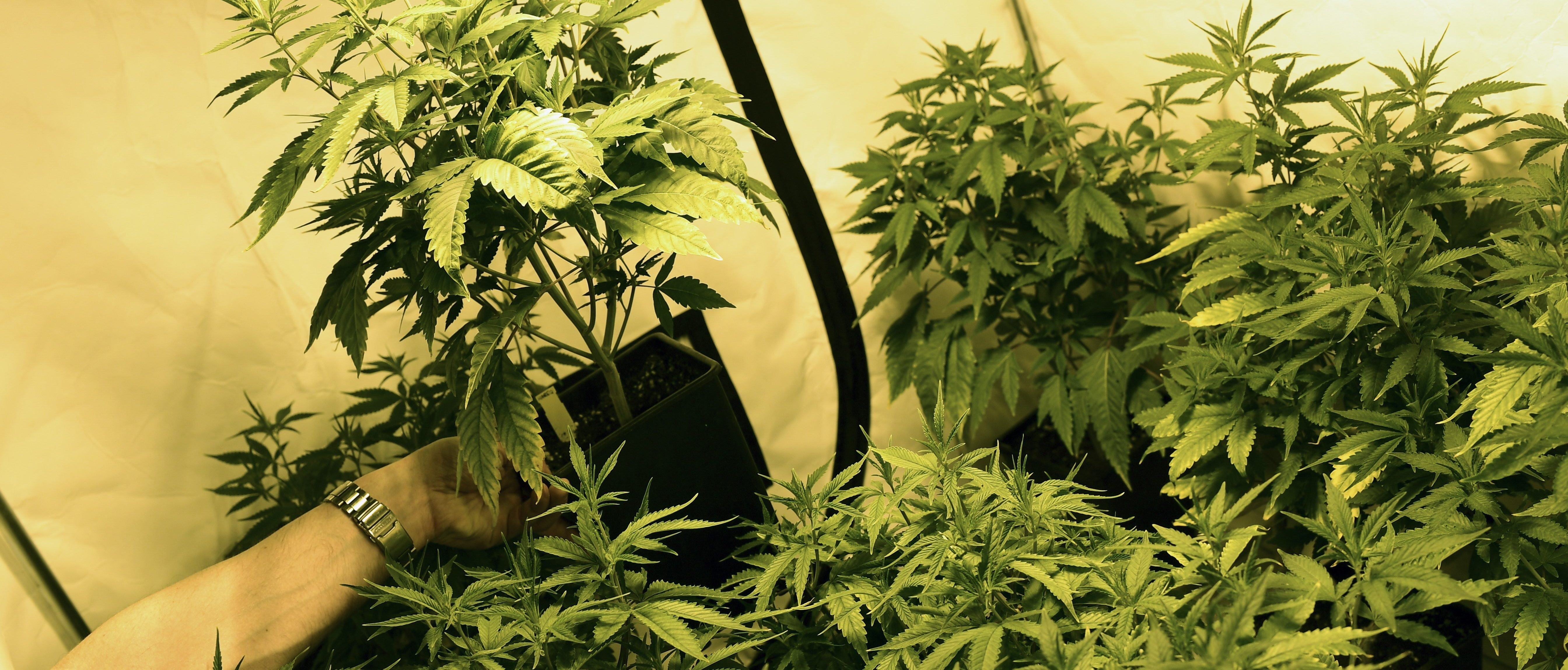 US Government Growing Enormous Crop Of Marijuana, Largest In 5 Years   The Daily Caller