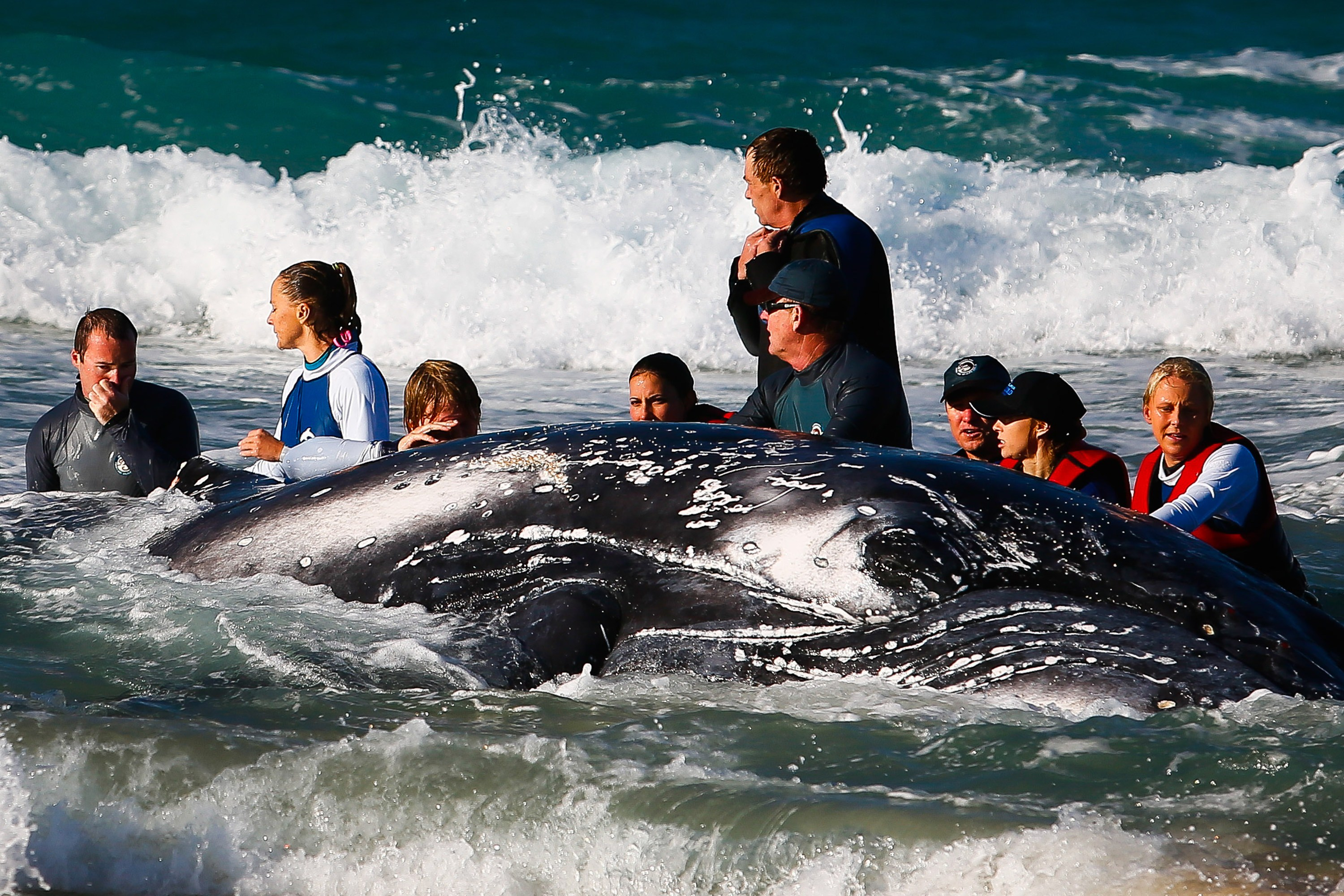 Sea World marine rescuer workers try to rescue a humpback whale beached at Palm Beach on Queensland's Gold Coast on July 9, 2014. (PATRICK HAMILTON/AFP/Getty Images)