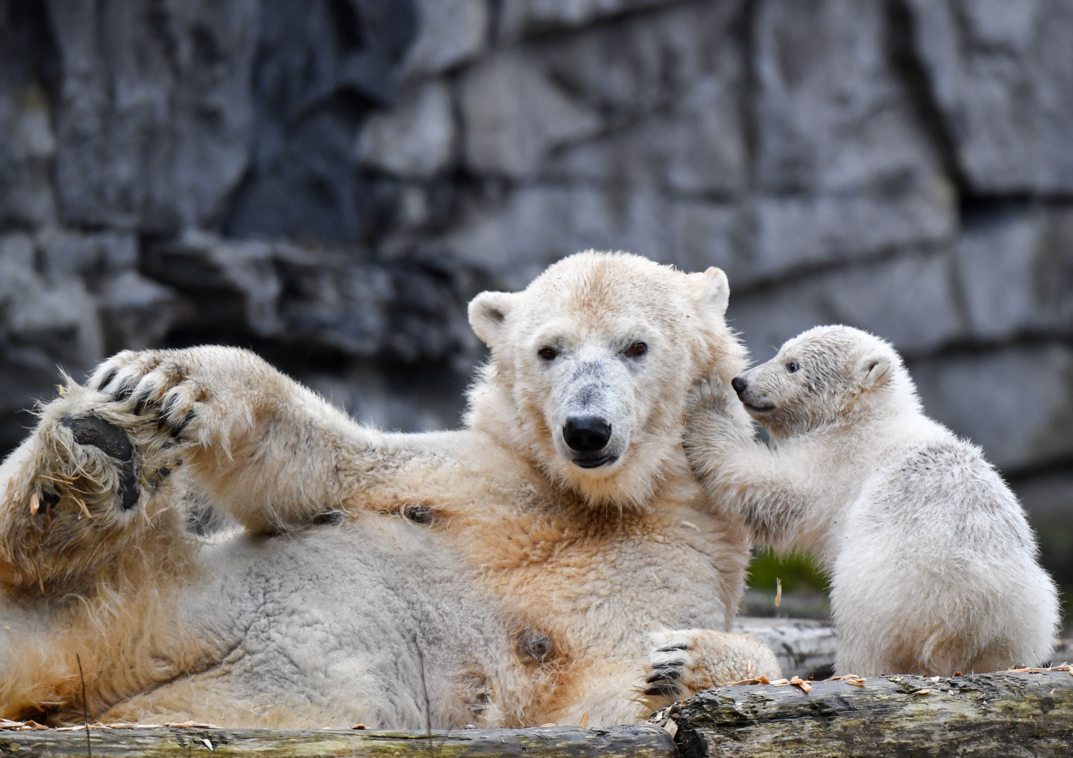 A polar bear cub plays with her mother Tonja at their enclosure on March 18, 2019 at the Tierpark zoo in Berlin. (Photo credit JENS KALAENE/AFP/Getty Images)