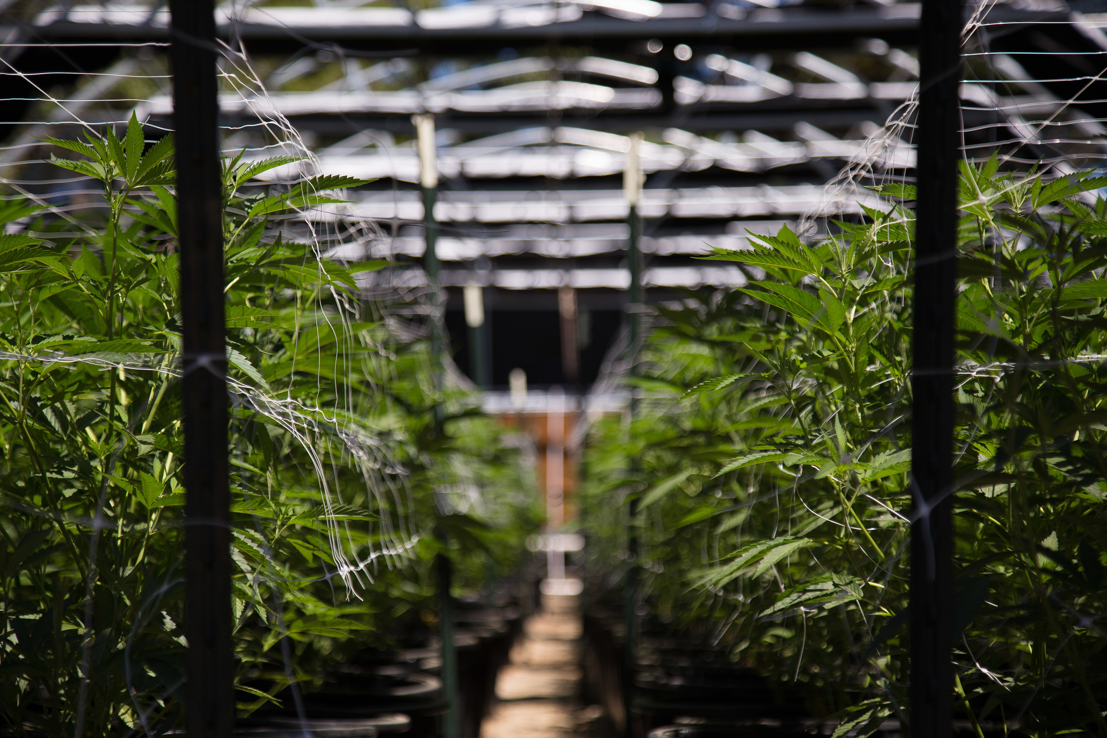 A close-up view of a marijuana farm. Shutterstock image via Ryland zweifel