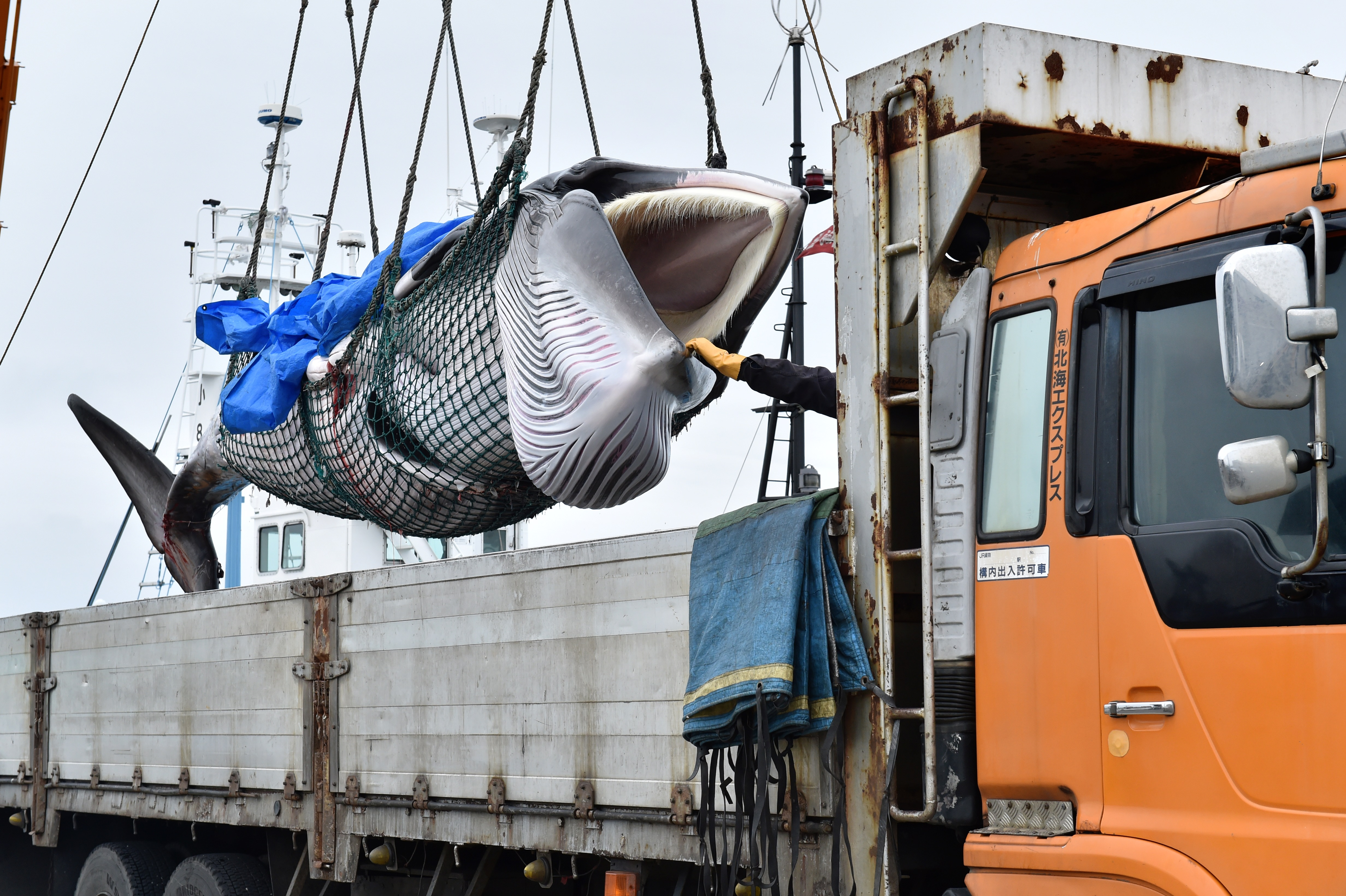 A captured Minke whale is lifted by a crane into a truck bed at a port in Kushiro, Hokkaido Prefecture on July 1, 2019. - Japan began its first commercial whale hunts in more than three decades on July 1, brushing aside outrage over its resumption of a practice that conservationists say is cruel and outdated. (Photo by KAZUHIRO NOGI/AFP/Getty Images)