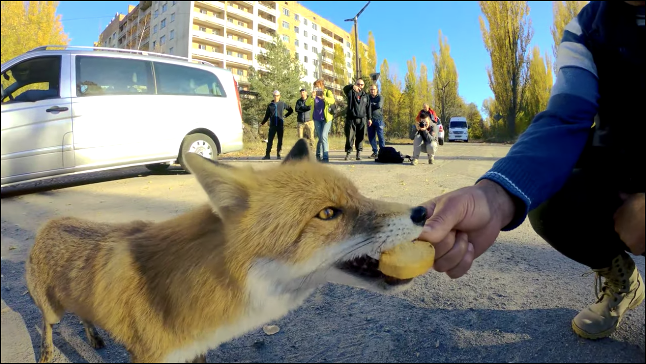 Since being abandoned by humans, the towns of Chernobyl have become host to wildlife like this fox. (YouTube/ Chernobyl Zone - Radioactive Team)