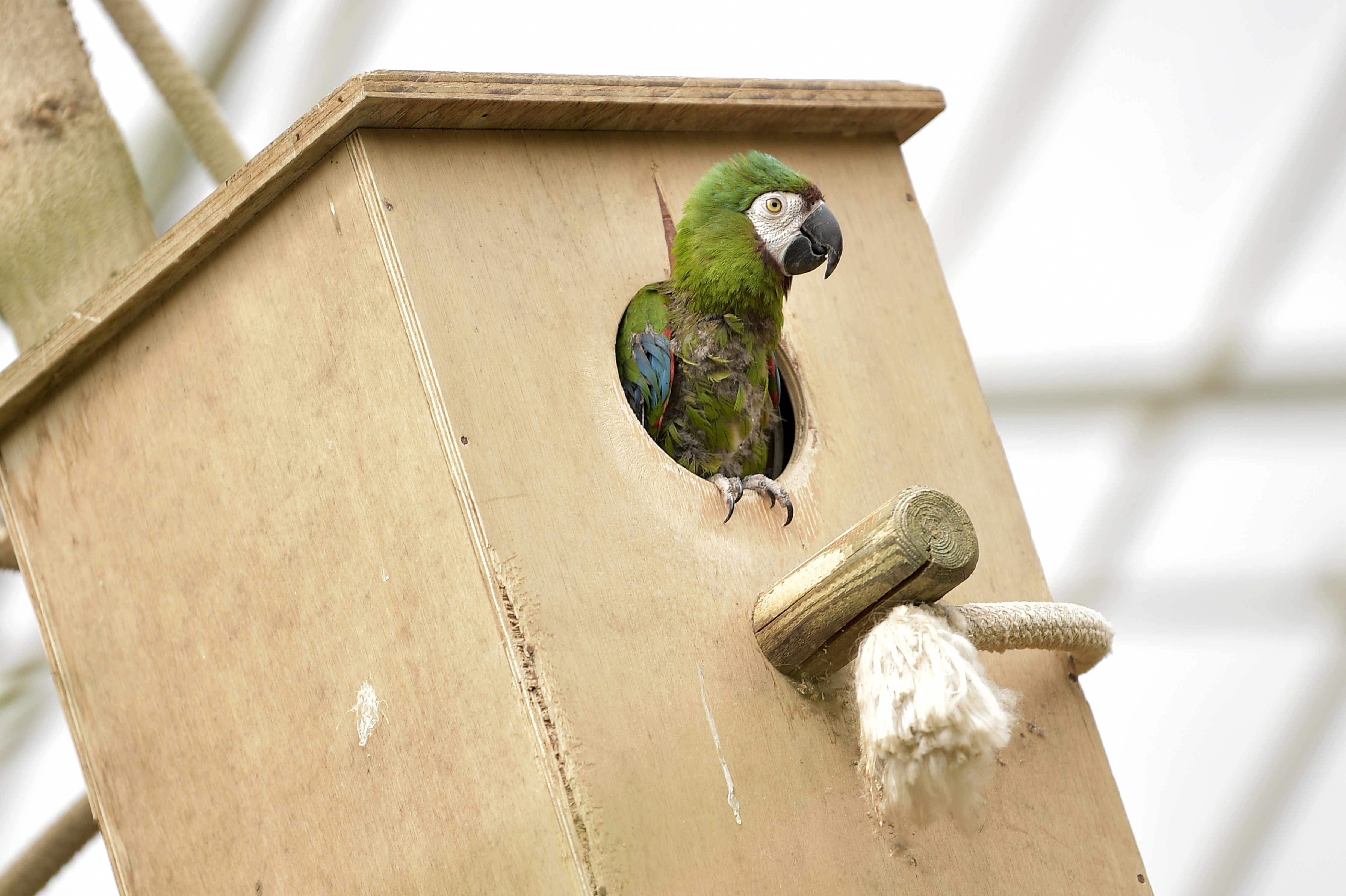 Illustration picture shows a parrot during the inauguration of the Pakawi Park animal park, former Olmense Zoo, Saturday 22 June 2019, in Olmen. (YORICK JANSENS/AFP/Getty Images)