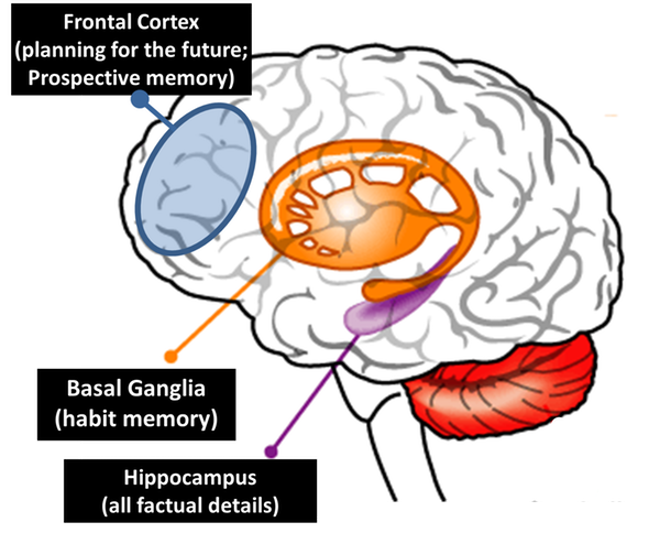 "Professor David Diamond's graphic displaying the ""habit memory"" system and the ""prospective memory"" system of the human brain. (David Diamond)"