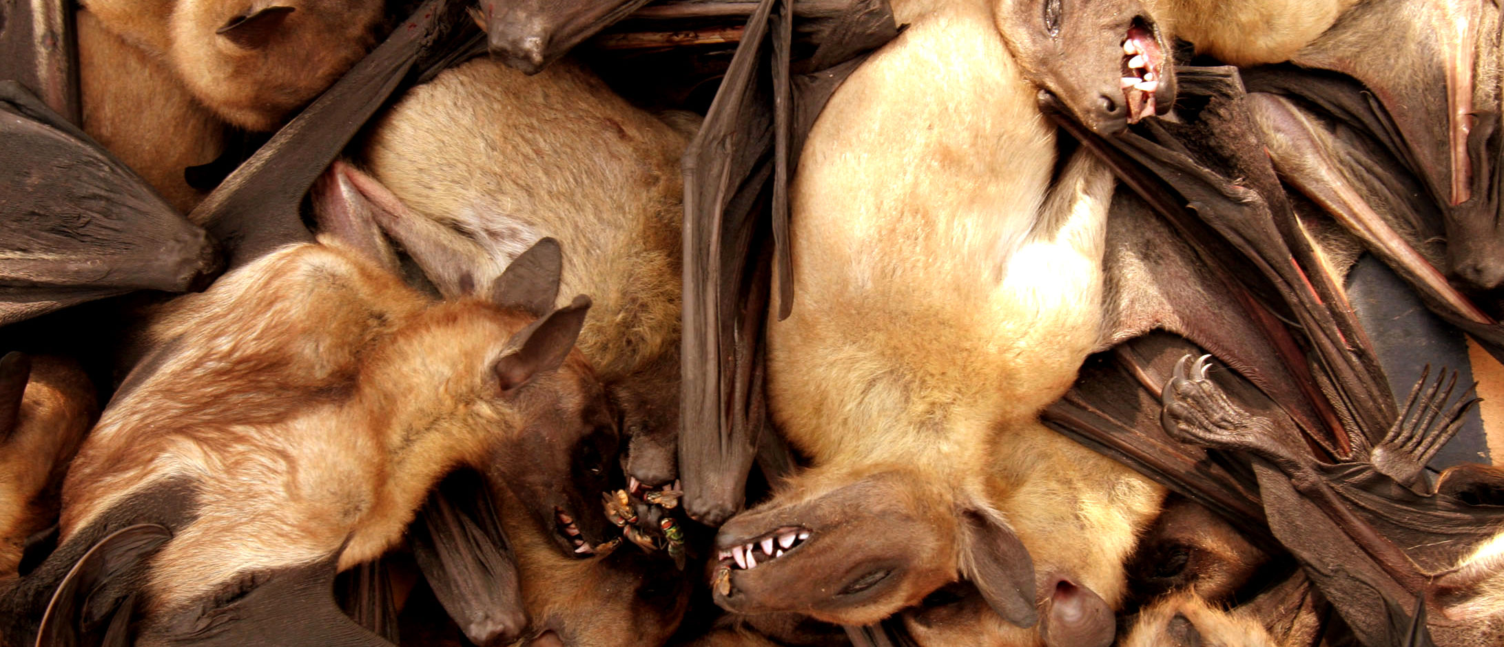 Fruit bats are seen for sale at a food market in Brazzavile, Republic of Congo, December 15, 2005. REUTERS/Jiro Ose