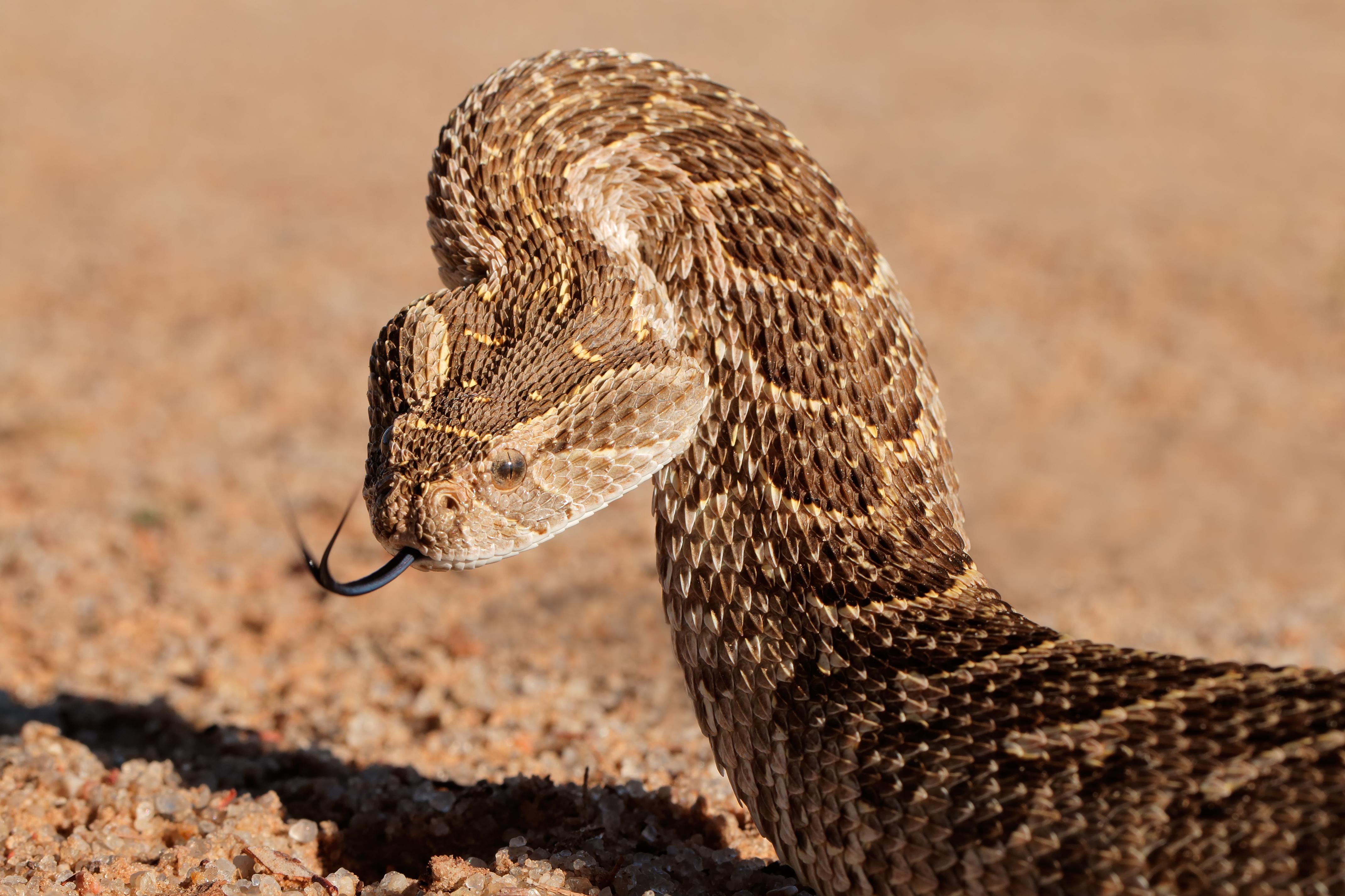 The puff adder is often described as robust or heavily built and grows to 40 inches. (Shutterstock/EcoPrint)