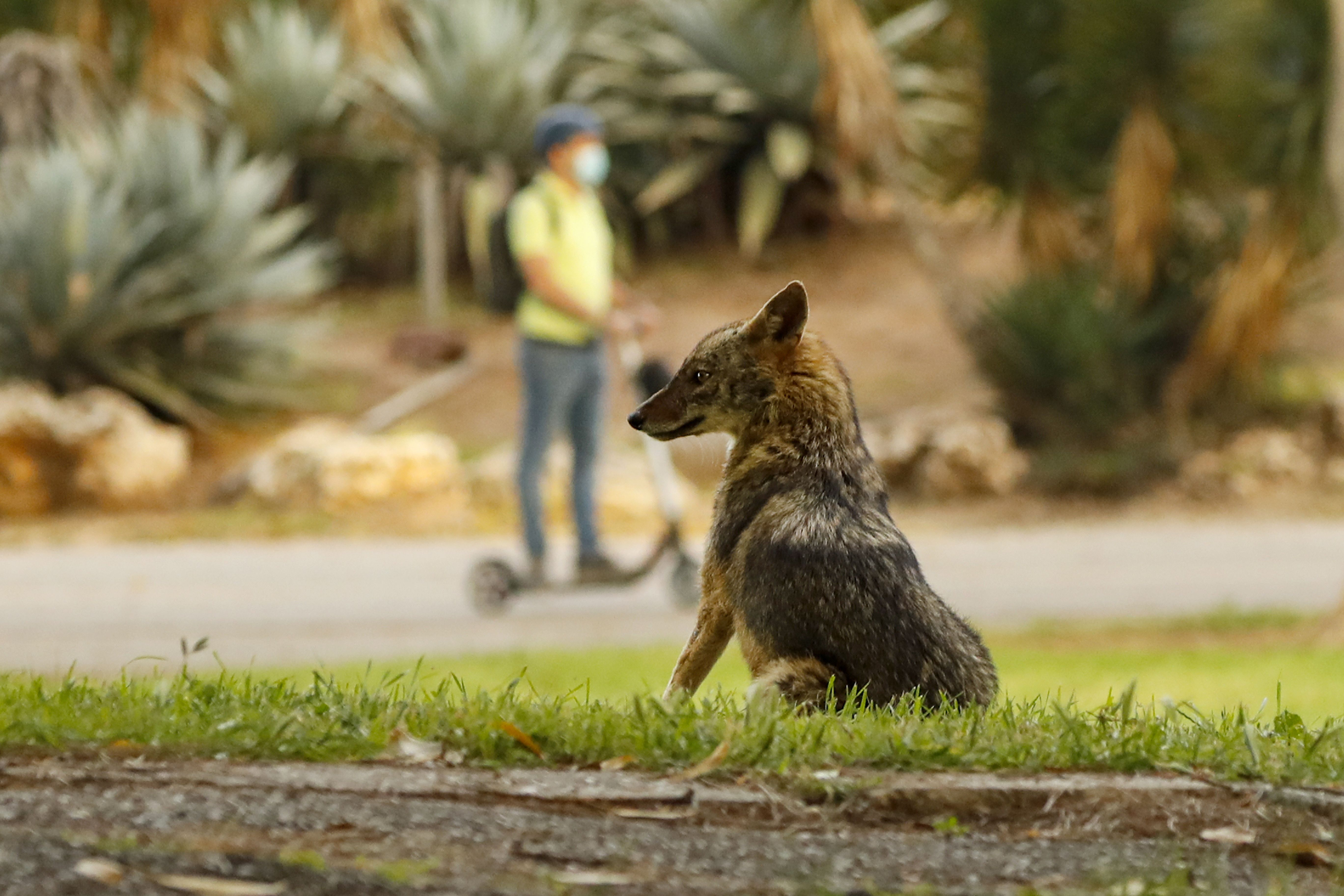 A jackal sits in Yarkon Park in the Israeli coastal city of Tel Aviv on April 13, 2020.(Photo by JACK GUEZ/AFP via Getty Images)