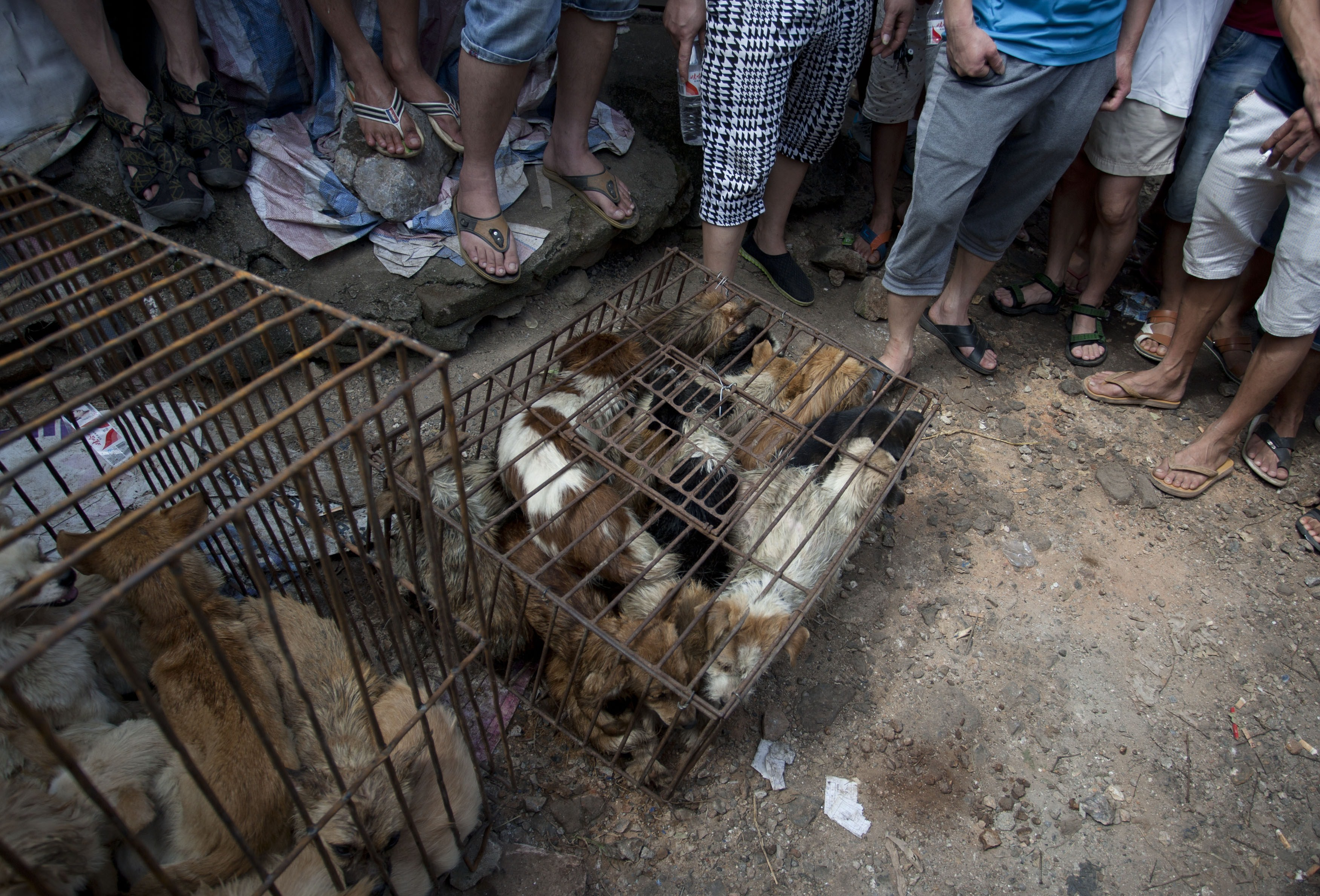 Chinese customers gather around dogs in cages on sale at a market in Yulin, in southern China's Guangxi province on June 21, 2015. (Photo credit should read STR/AFP via Getty Images)