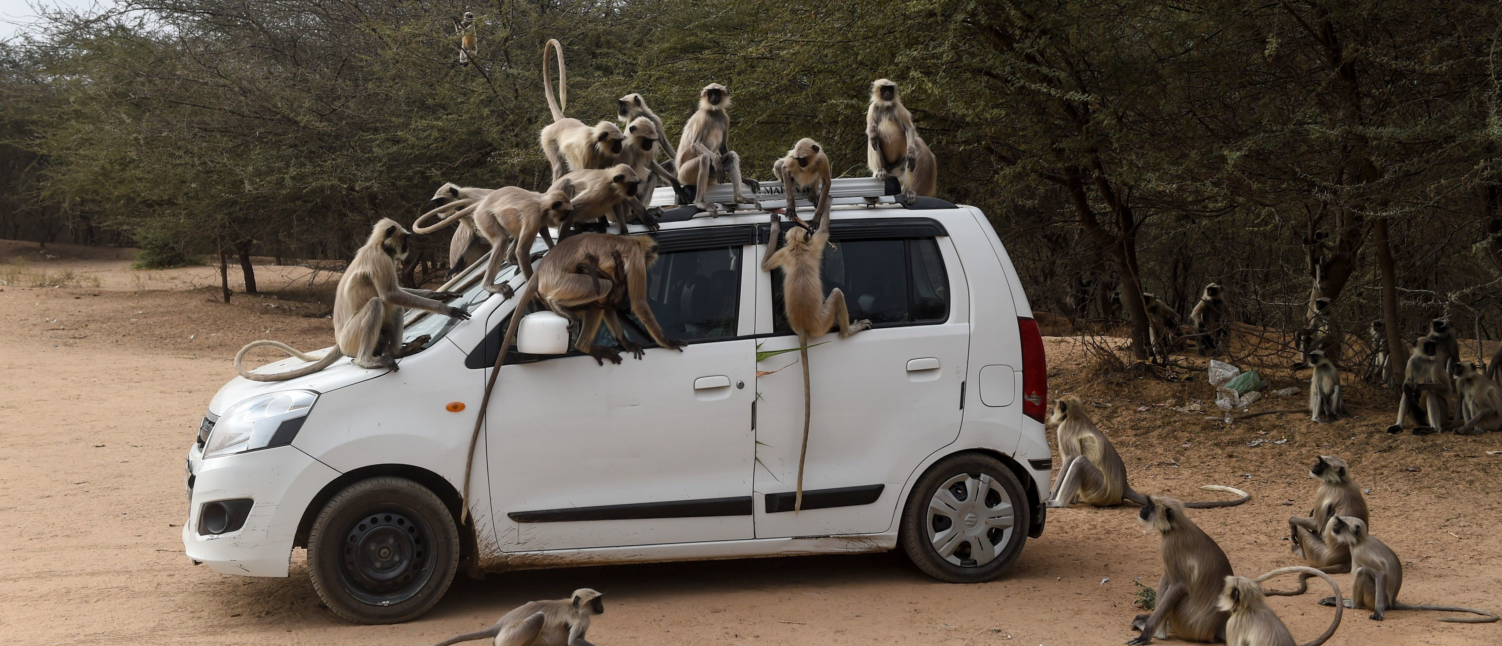 Monkeys In India Attack Lab Assistant And Steal...
