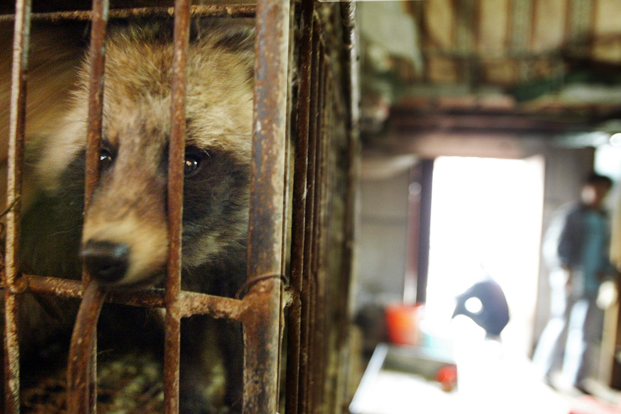 A raccoon dog destined for the dinner table looks out of its cage in Xin Yuan wild animal market in the southern Chinese city of Guangzhou, 06 January 2004. (Photo by PETER PARKS/AFP via Getty Images)