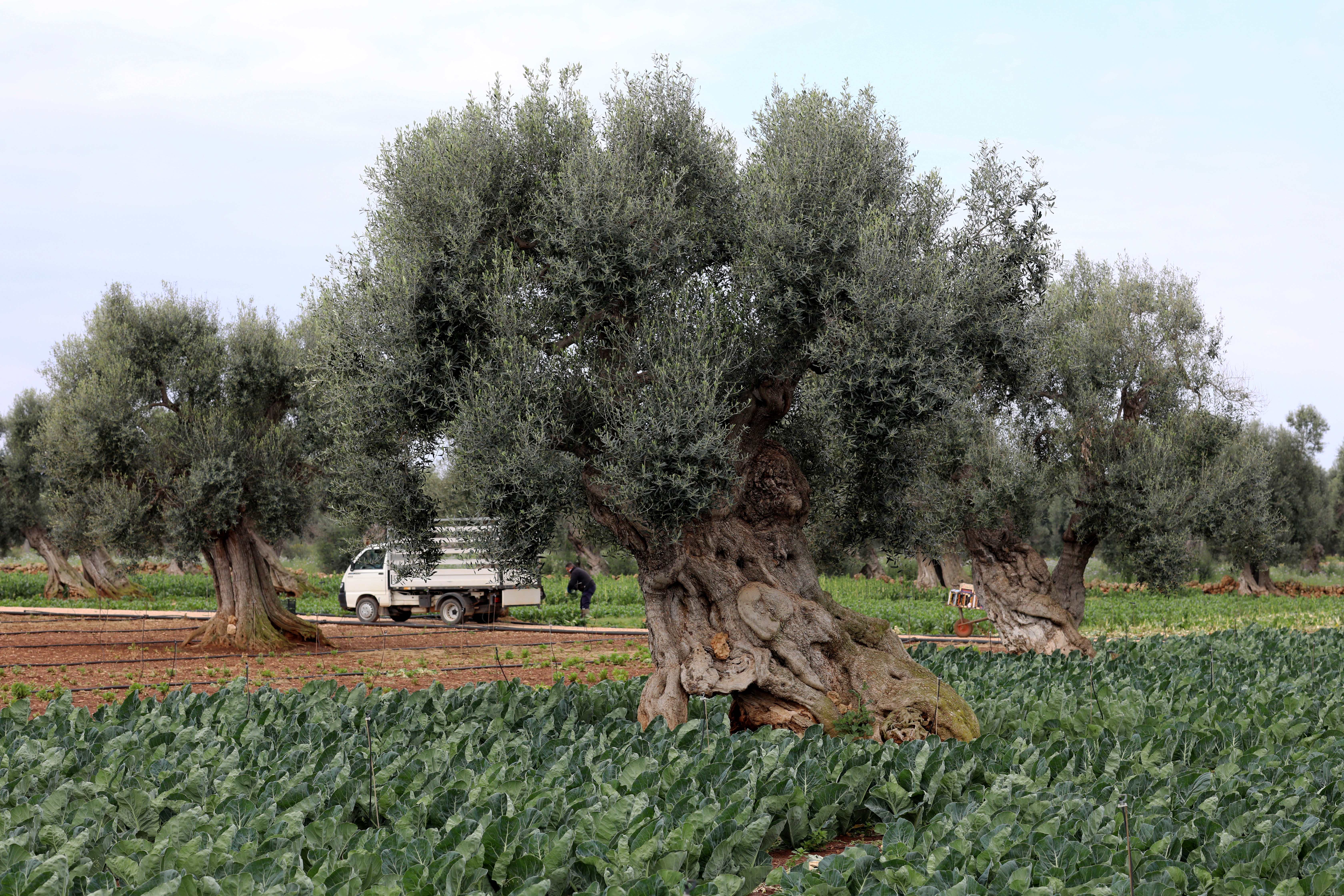 Hundred years old olive trees are seen at the Piana degli Oliveti on April 10, 2019 in Fasano, Italy. (Photo by Marco Di Lauro/Getty Images)