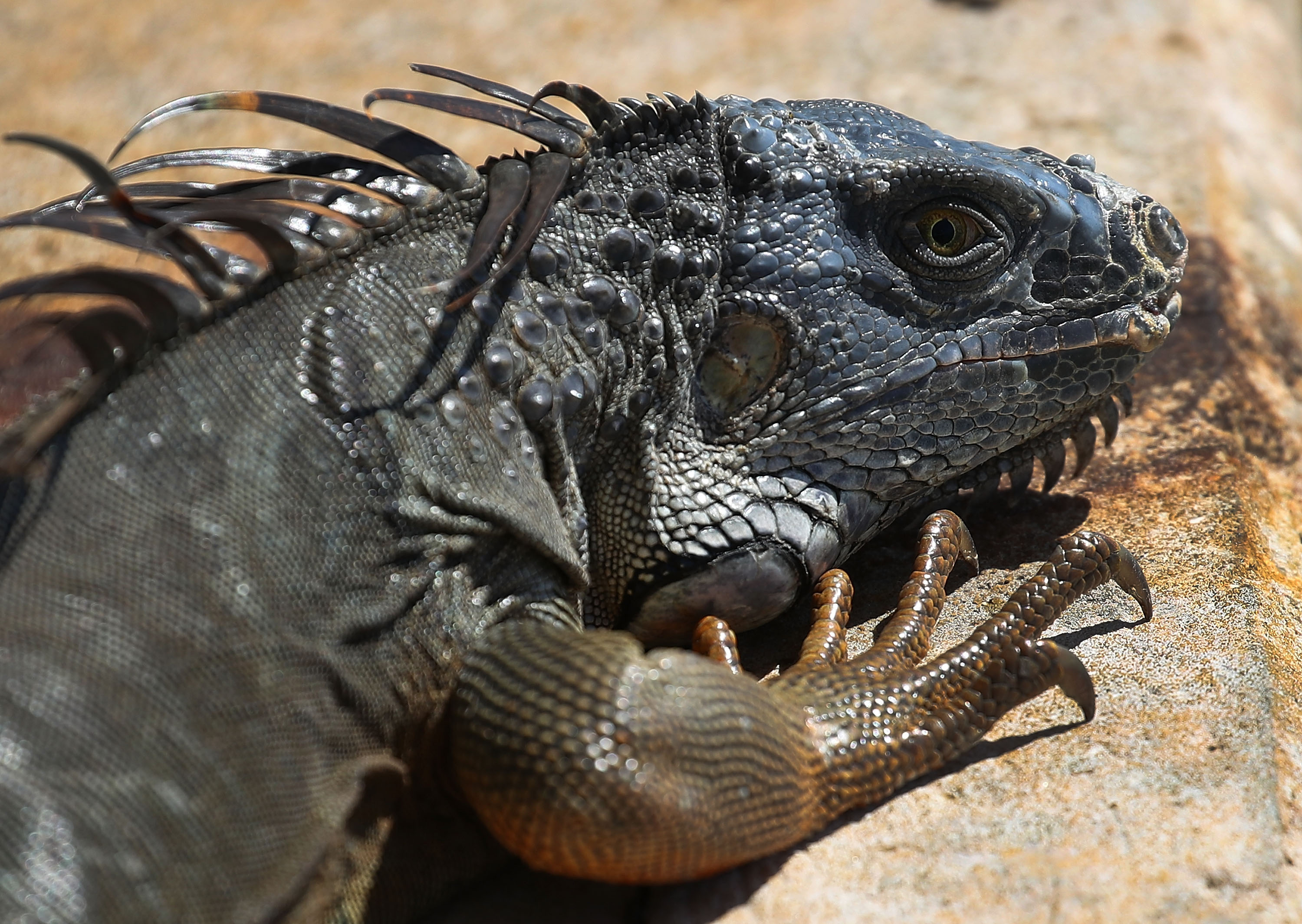 An iguana is seen as the Florida Fish and Wildlife Conservation Commission continues its efforts to try and control the invasive species on March 13, 2018 in Miami, Florida. The commission has teams of people that are trying to eliminate the reptiles by killing them, which would prevent them from eating native plants and wildlife as well as disturbing the natural Florida habitat that they are living in. (Photo by Joe Raedle/Getty Images)