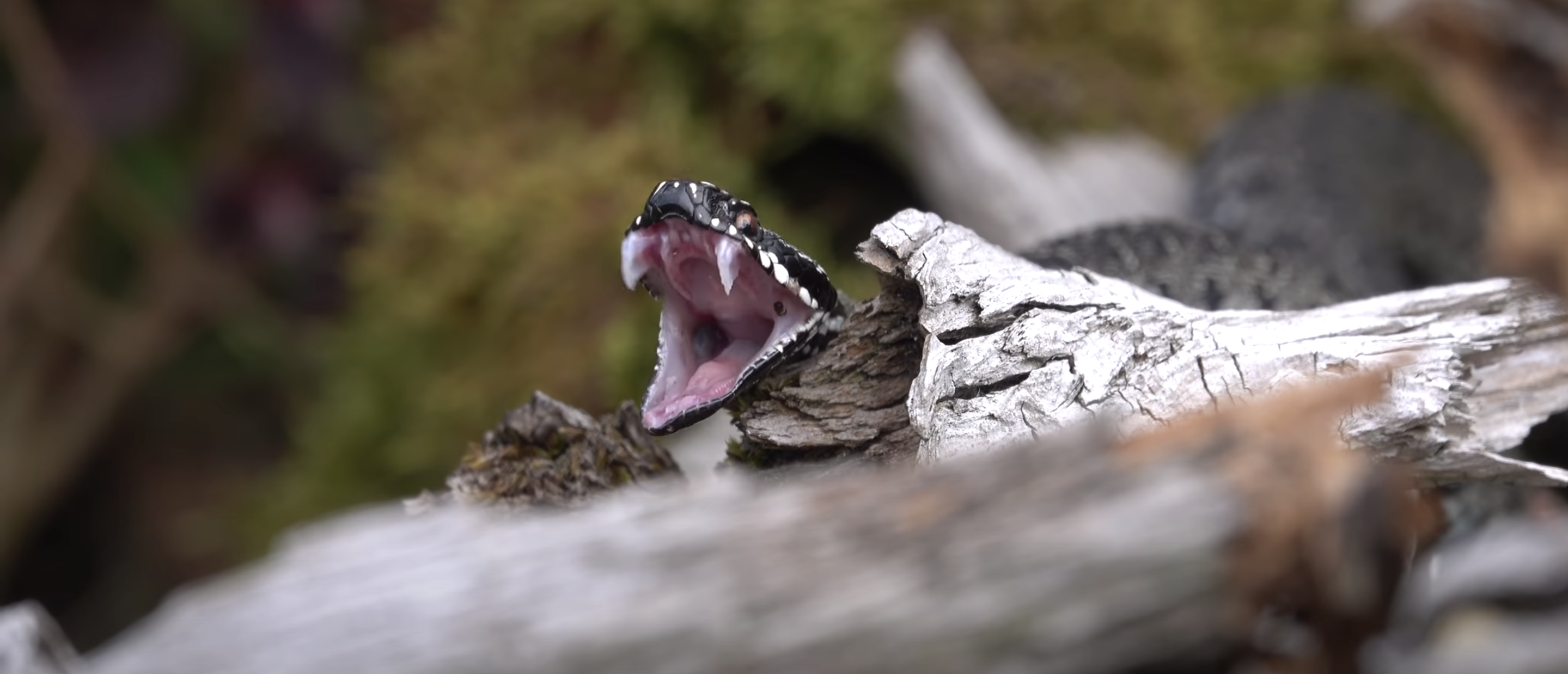 European common viper reveals its fangs before attacking its prey