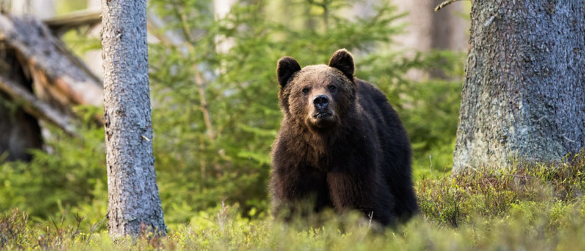 Report: 11-Year-Old Mauled By Brown Bears At Russian Zoo