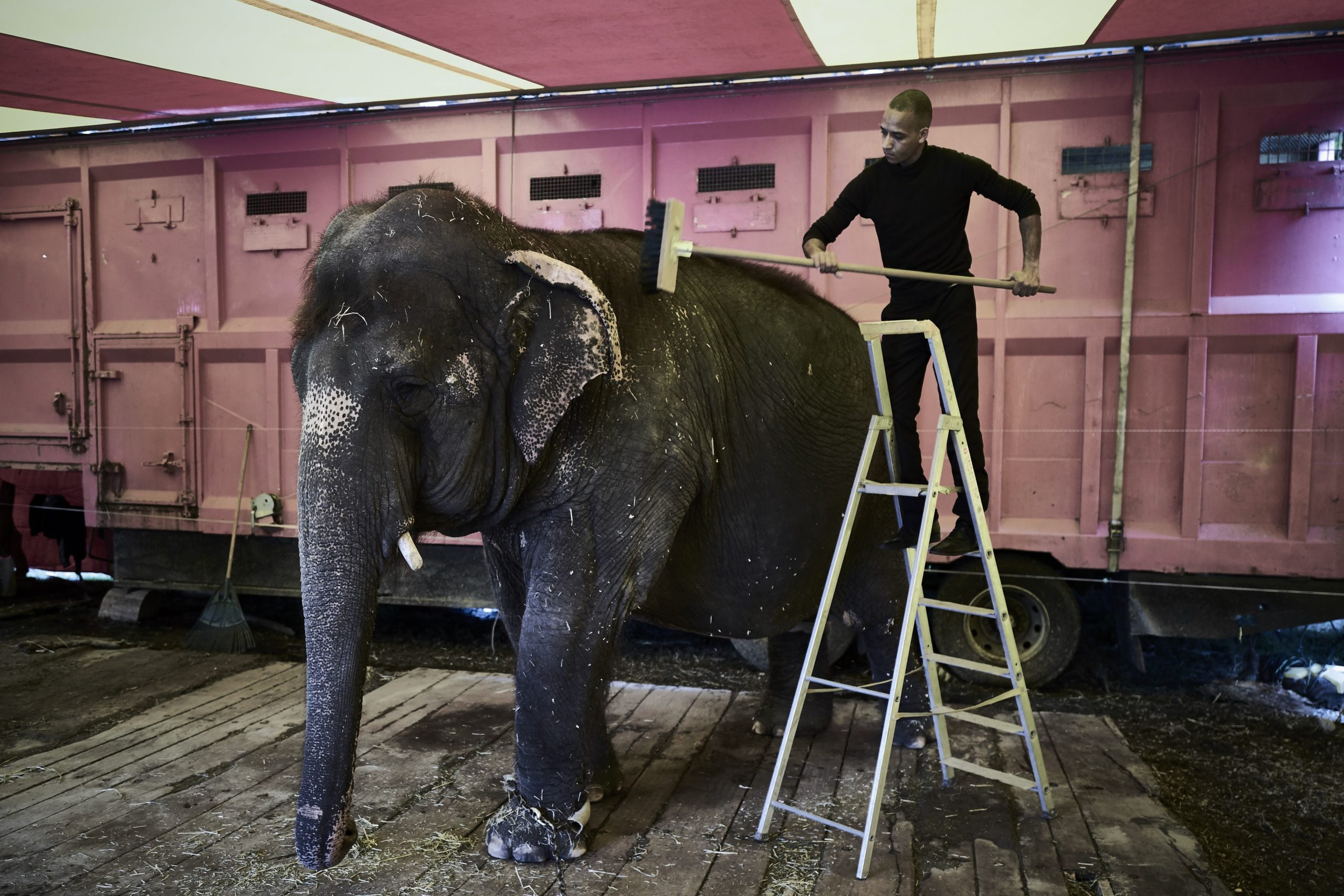 A man cleans an elephant at the Medrano Circus, as the travelling circus set up his circus tent in Lyon on October 16, 2016. Created in 1897 by Spanish clown Géronimo Médrano, the circus is the biggest French travelling circus with about 10 million spectators each year. 120 people from 14 different nationalities, technicians, fitters and artists take part in this success. / AFP / JEAN-PHILIPPE KSIAZEK (Photo credit should read JEAN-PHILIPPE KSIAZEK/AFP via Getty Images)