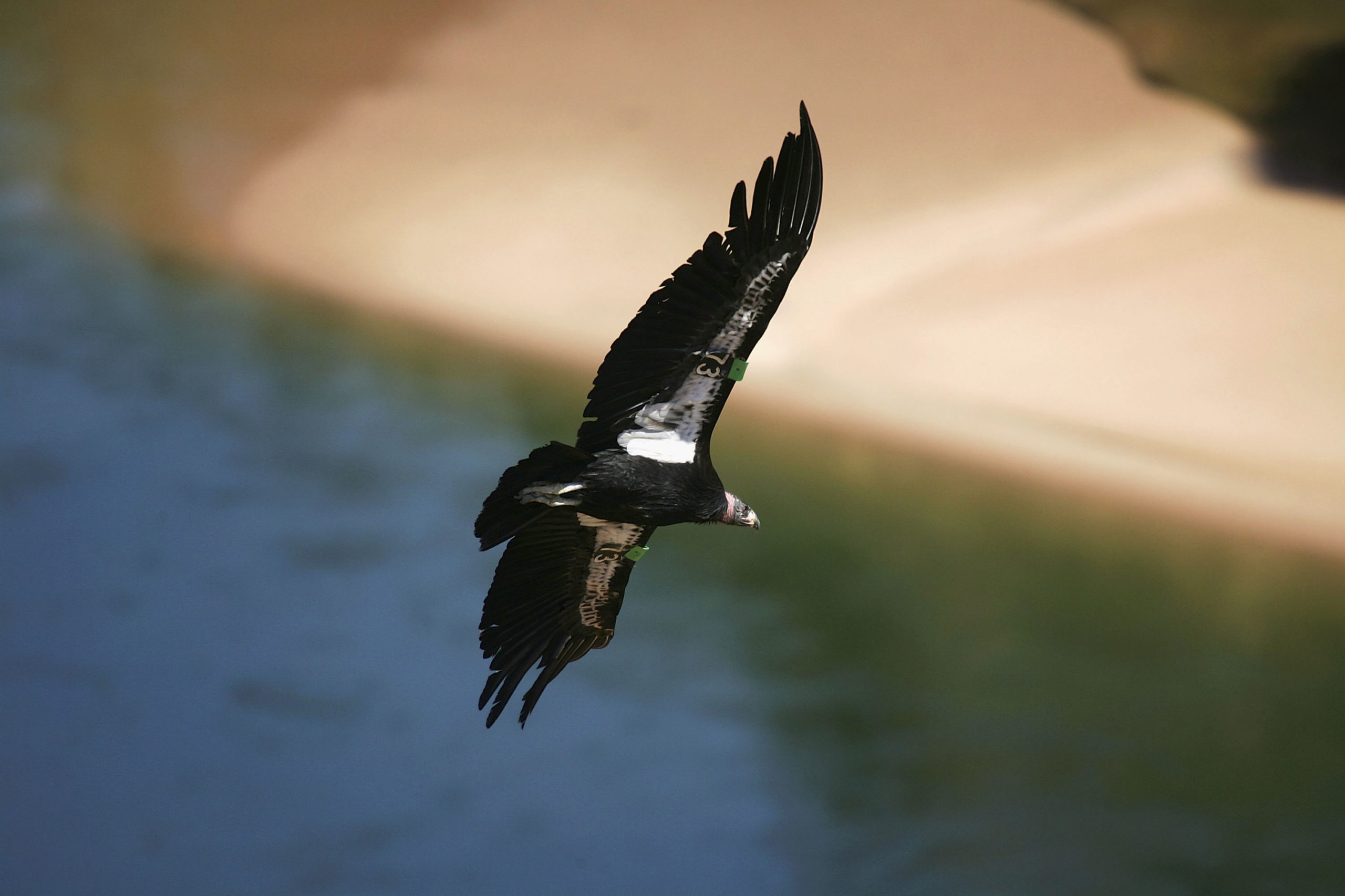 PAGE, AZ - MARCH 24: A rare and endangered California condor flies over the Colorado River in Marble Gorge, east of Grand Canyon National Park, on March 24, 2007 west of Page, Arizona. Condor managers taking blood samples from the 57 wild condors in Arizona both before and after hunting season find that all 57 condors test positive for contamination by lead matching the isotropic fingerprint of the lead commonly used in ammunition, and that those levels rise significantly by the end of the season. Many of the condors become so sick that biologists must re-capture them for lead-poisoning treatments. Several die each year. Experts believe the condors are ingesting the lead as they scavenge gut piles left behind hunters because lead bullets shatter and fragment inside the kill. Officials in Arizona are encouraging hunters to use copper bullets instead of lead-based ammunition and in California, a coalition of conservation groups has sued the California Fish and Game Commission in an effort to force a ban on lead ammunition in Condor ranges. The condors in the Marble Canyon and Vermillion Cliffs area easily fly as far west as Lake Mead, by way of the Grand Canyon, and to Zion National Park and far into Utah. With a wingspan up to 9 ? feet, they are the largest flying birds in North America. In 1982, when the world population of California condors dropped to only 22 and extinction was believed eminent, biologist captured them and began a captive breeding and release program which has increased the total population to 278, of which 132 now live in the wild in Arizona, California, and Baja California, Mexico. (Photo by David McNew/Getty Images)