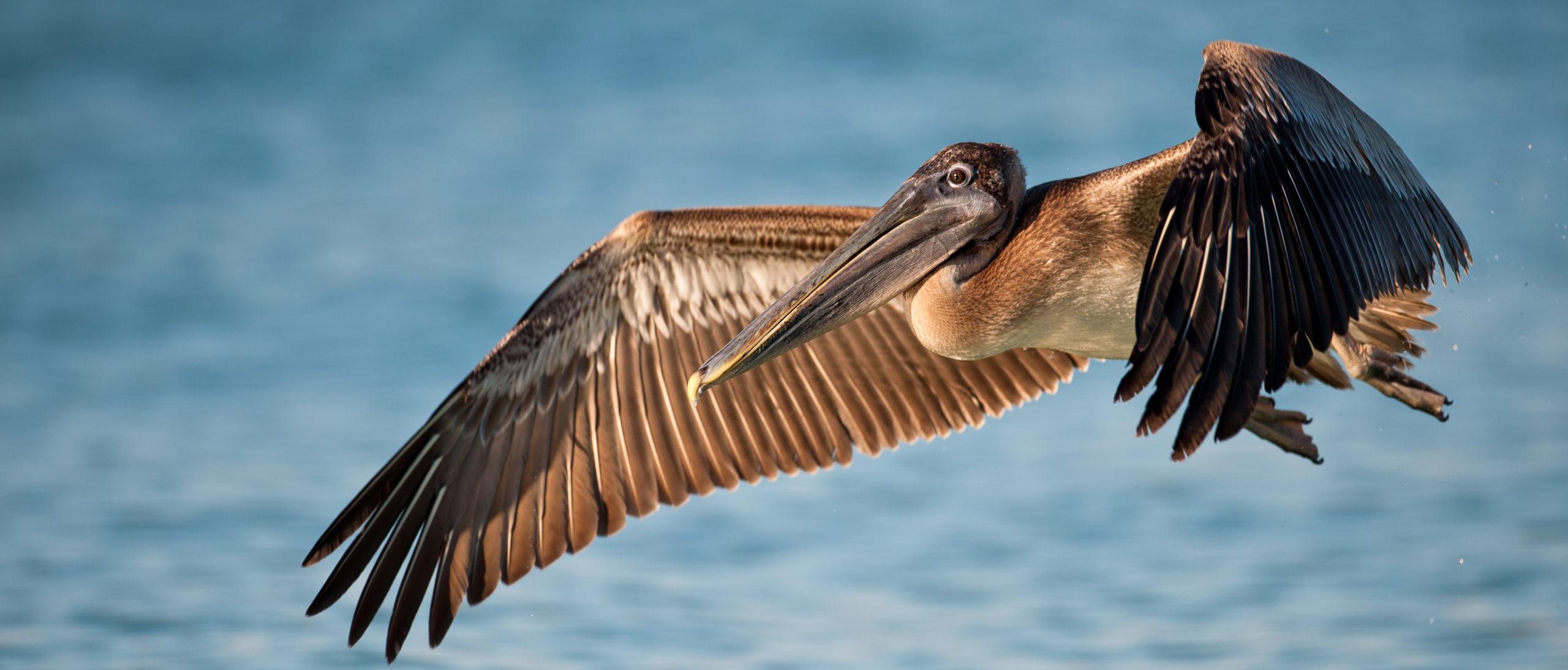 A Mysterious Serial Bird Killer Is Slashing Pelicans Throats Officials Offer Reward The Daily Caller